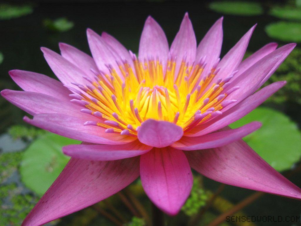 38 Best Free Yoga Lotus Wallpapers Wallpaperaccess
