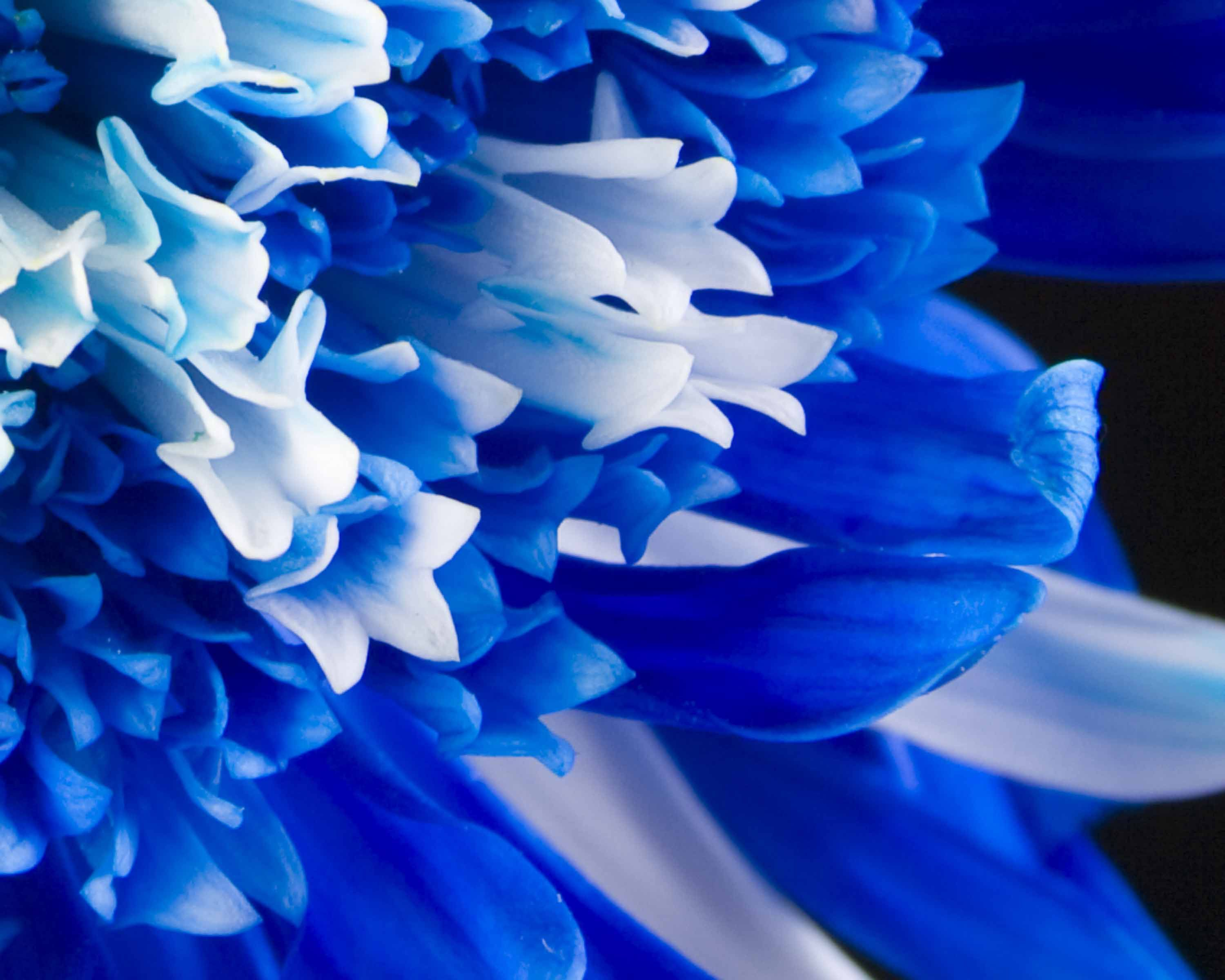Royal Blue Flowers HD Wallpapers - Top
