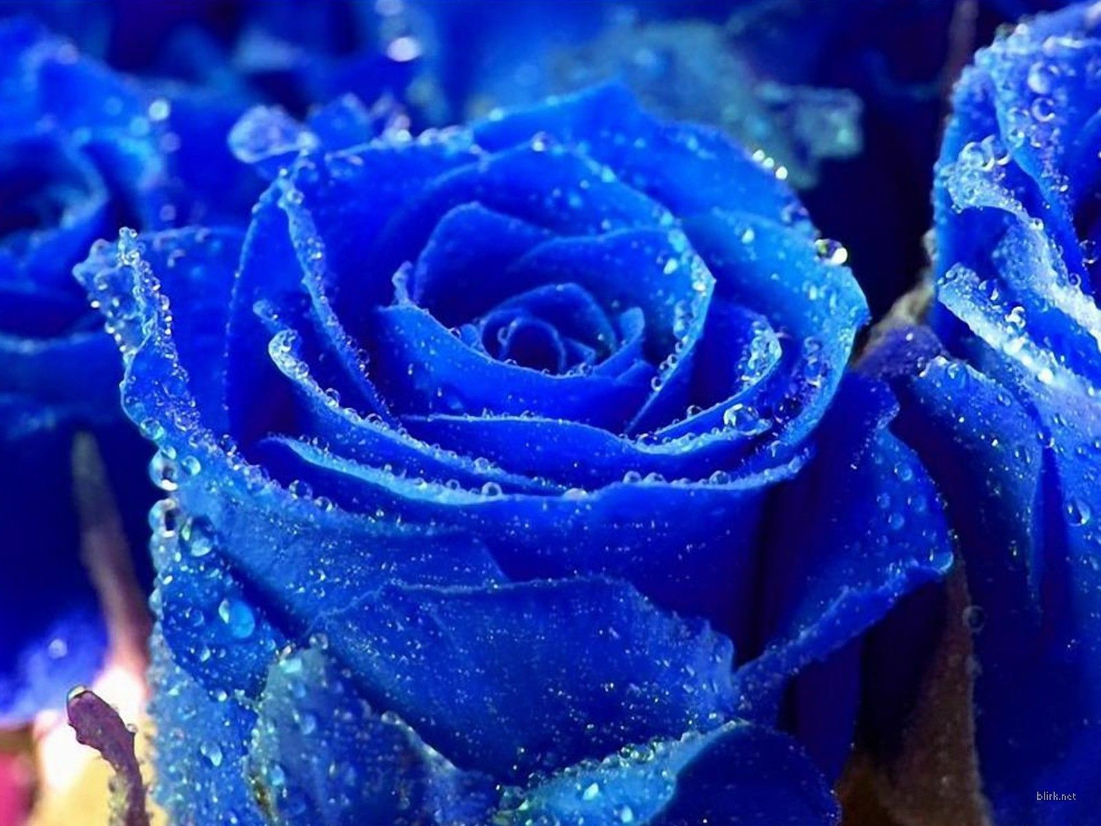 Royal Blue Flowers HD Wallpapers - Top Free Royal Blue Flowers HD