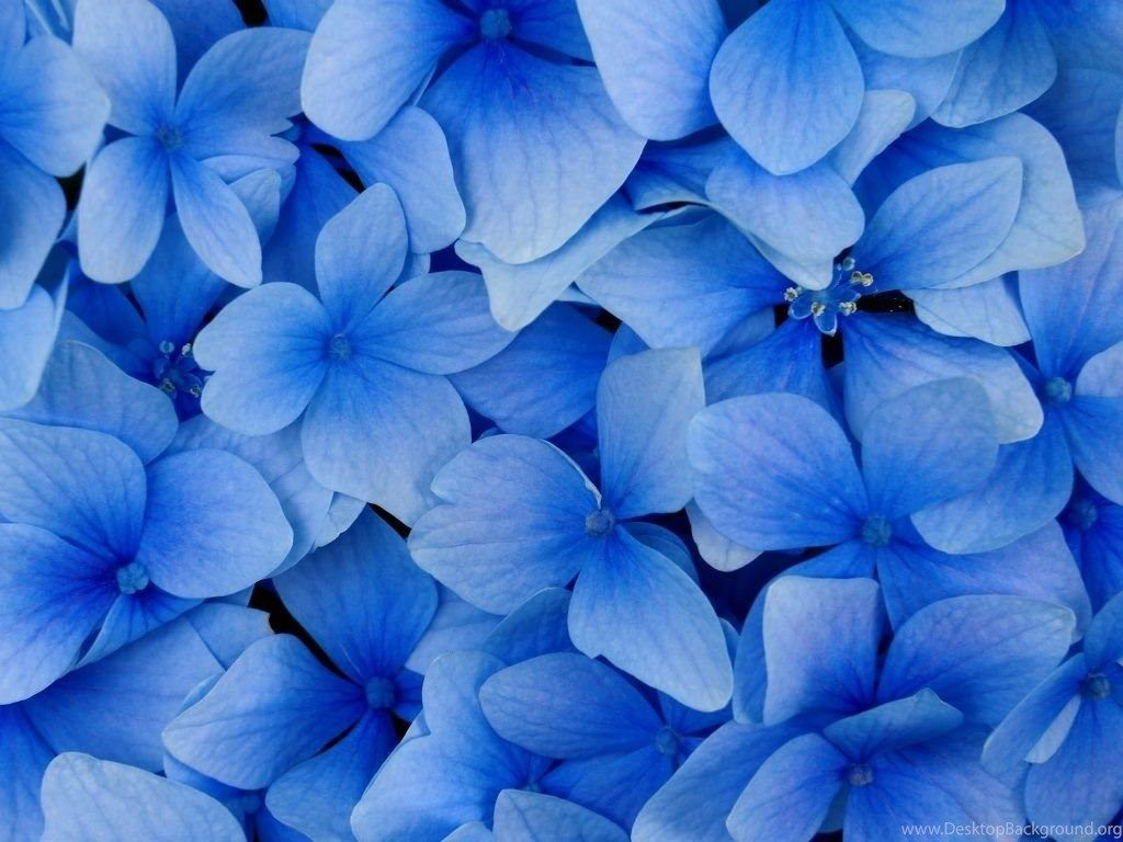 Royal Blue Flowers Hd Wallpapers Top Free Royal Blue Flowers Hd
