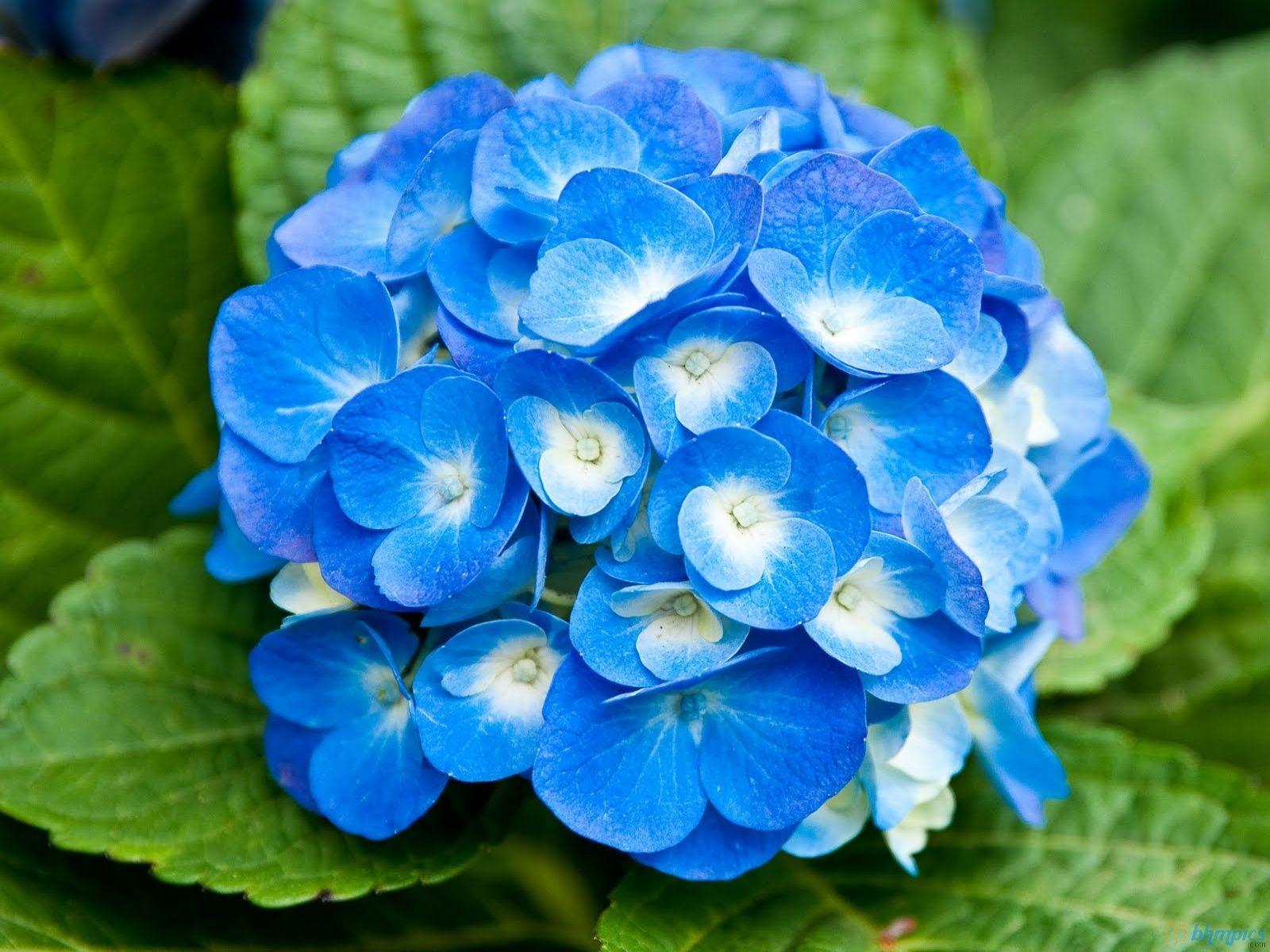 40 best free royal blue flowers hd wallpapers wallpaperaccess 1920x1080 best of royal blue flower wallpaper hd wallpaper vixel izmirmasajfo