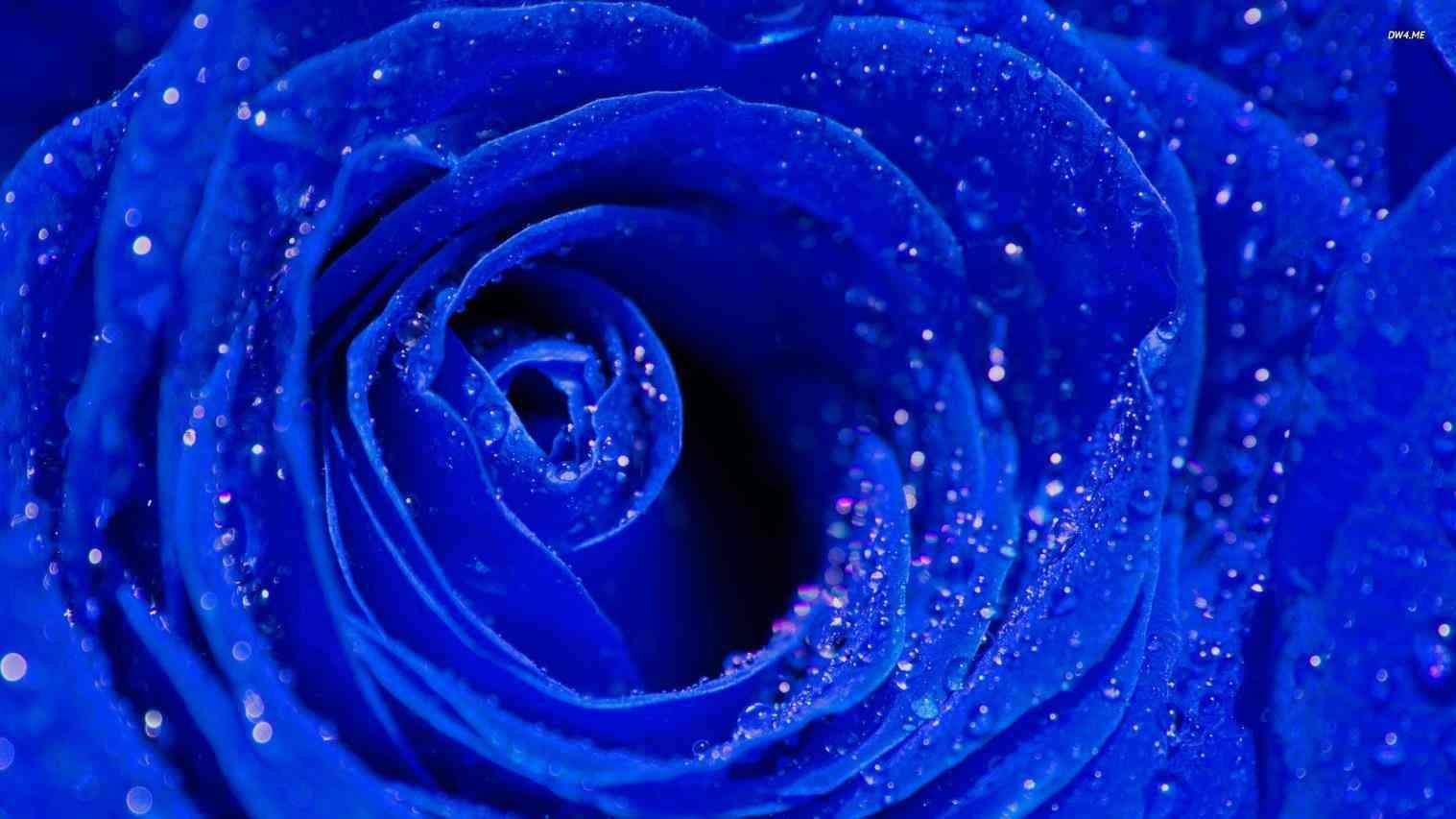 40 Best Free Royal Blue Flowers Hd Wallpapers Wallpaperaccess