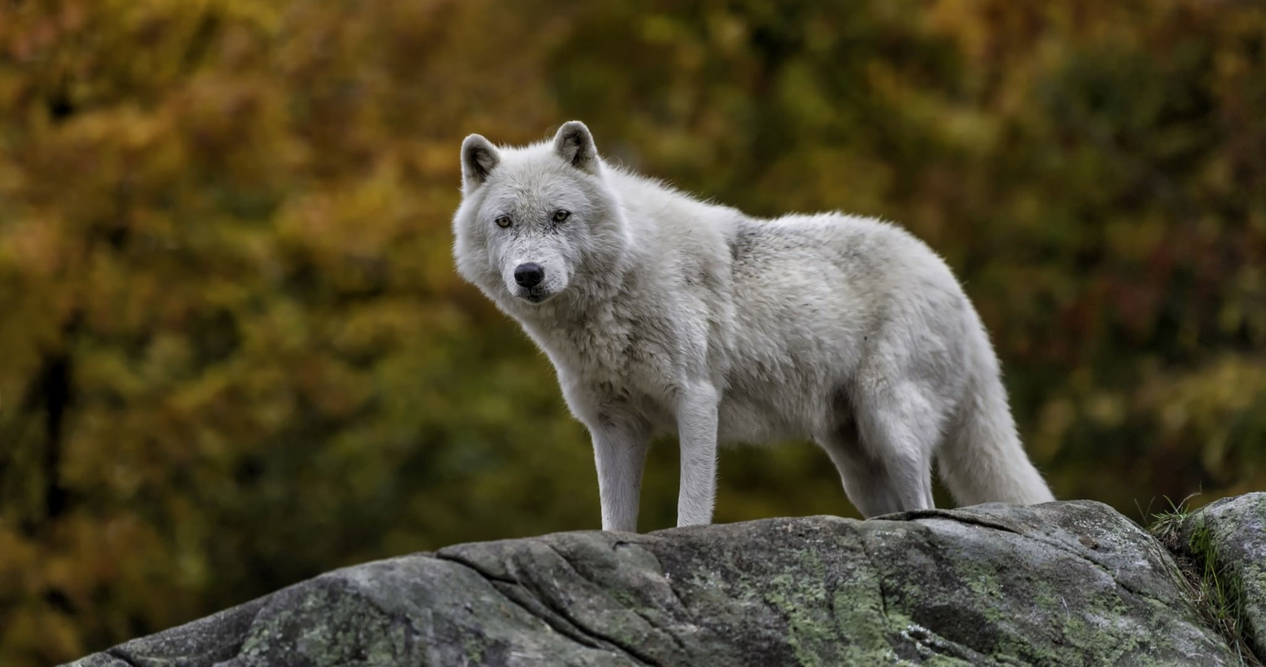 Fox and Wolf Wallpapers - Top Free Fox and Wolf ...