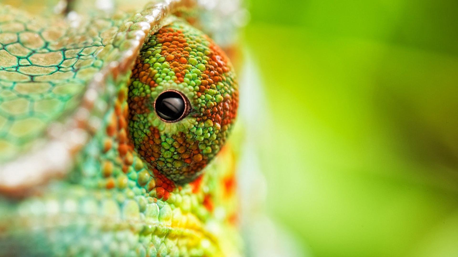 4k chameleon wallpapers - top free 4k chameleon