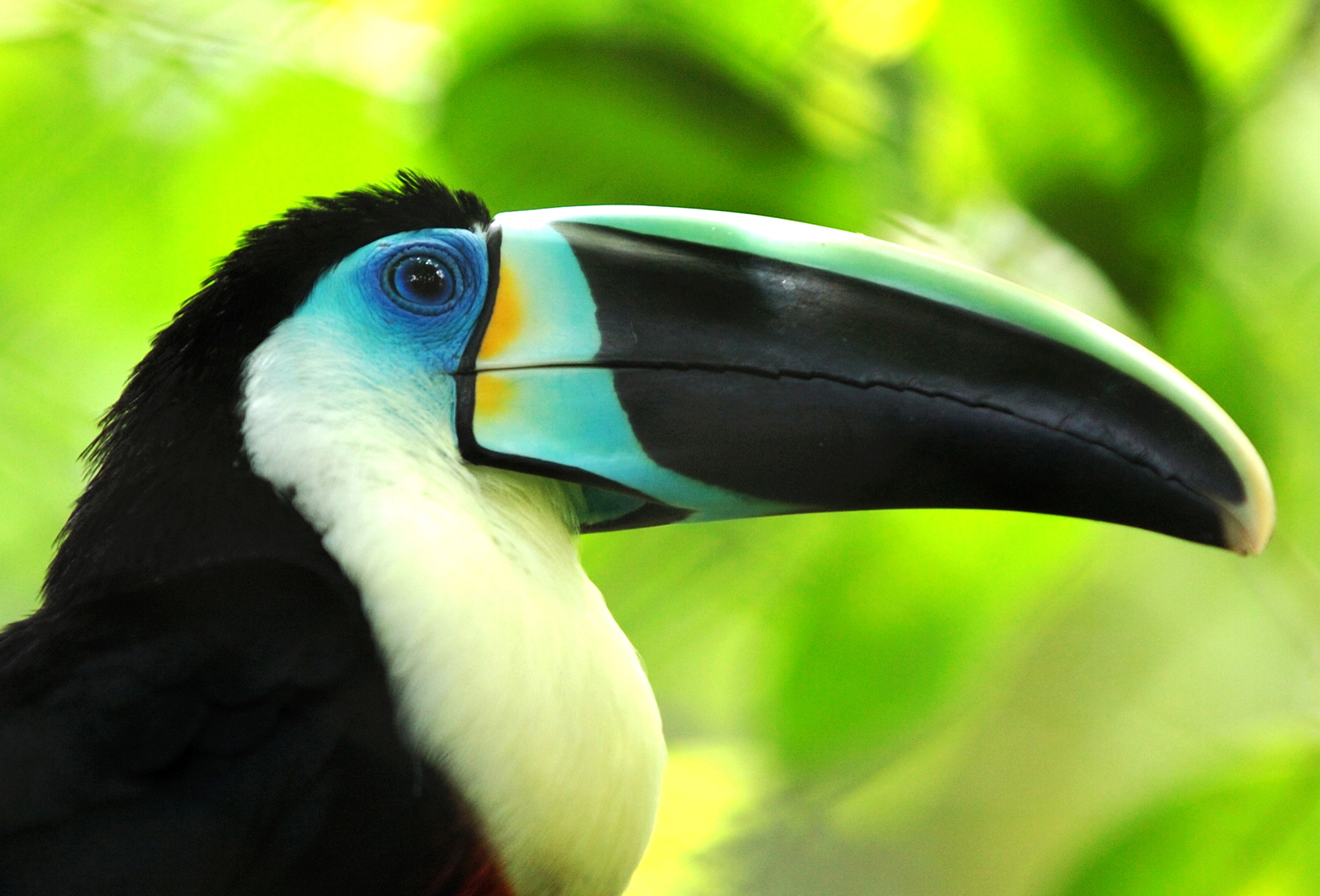 Toucan Wallpapers Top Free Toucan Backgrounds