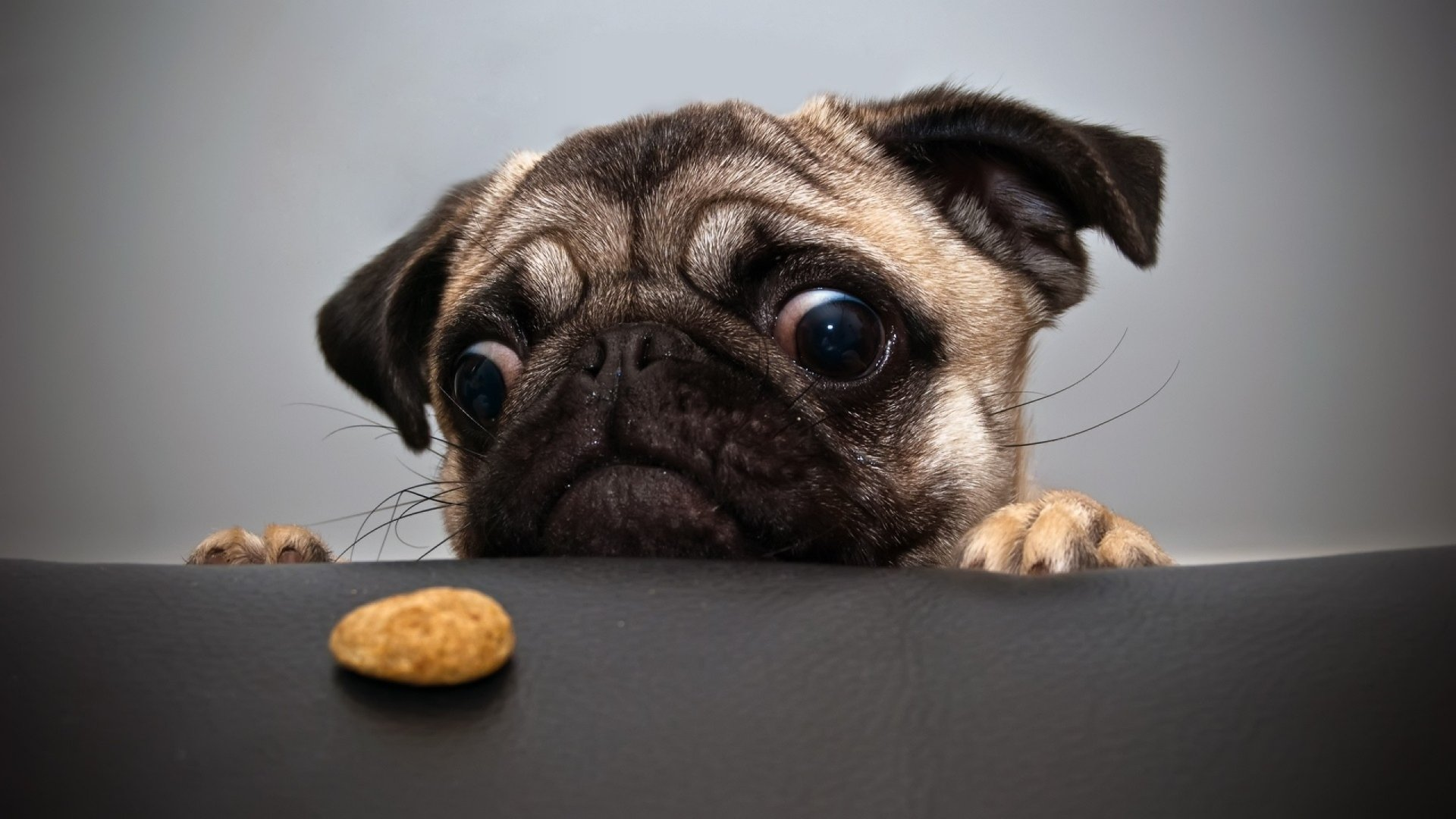 Pugs Wallpapers Top Free Pugs Backgrounds Wallpaperaccess