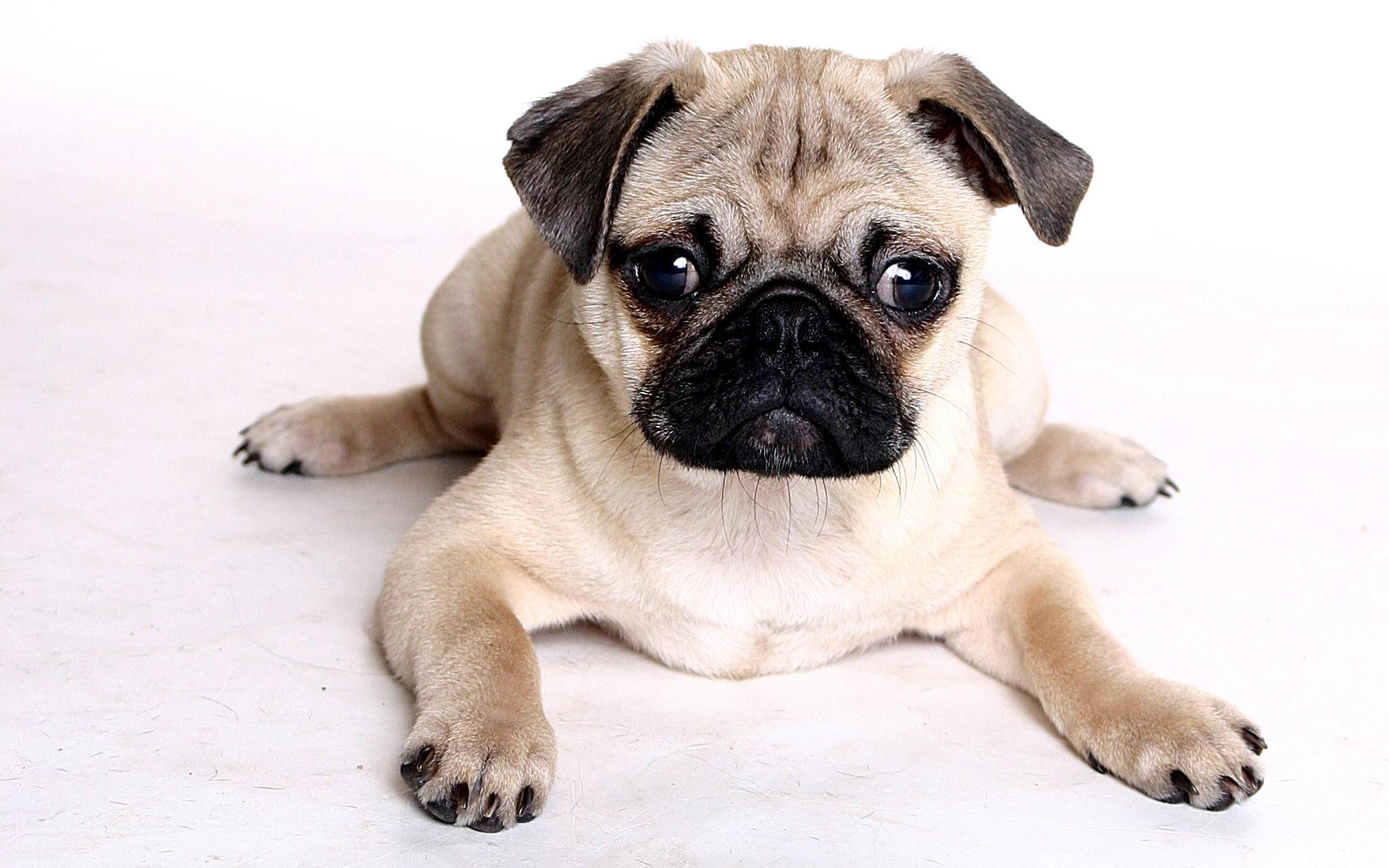 Pugs Wallpapers - Top Free Pugs Backgrounds - WallpaperAccess