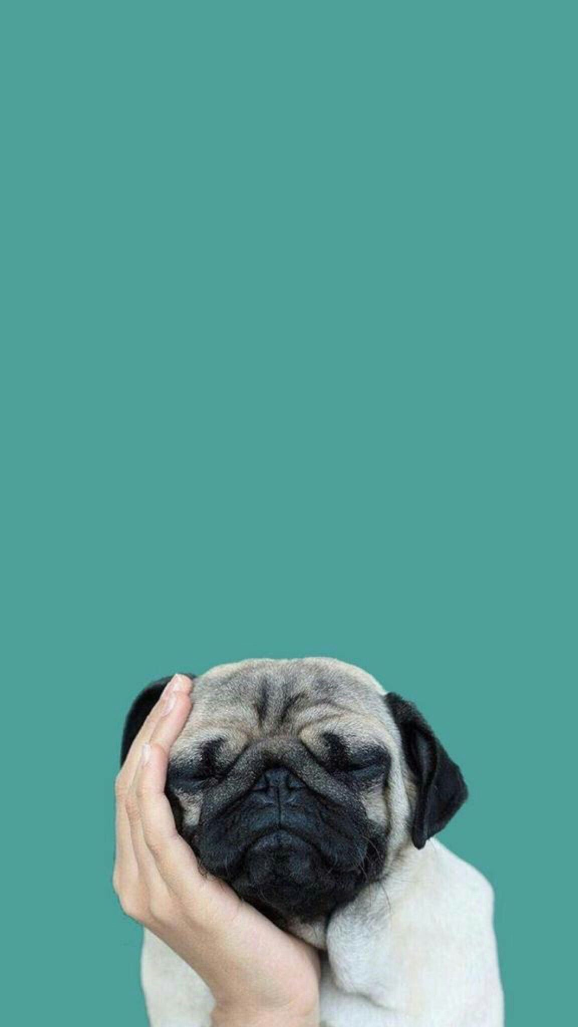 Pug Iphone Wallpapers Top Free Pug Iphone Backgrounds Wallpaperaccess