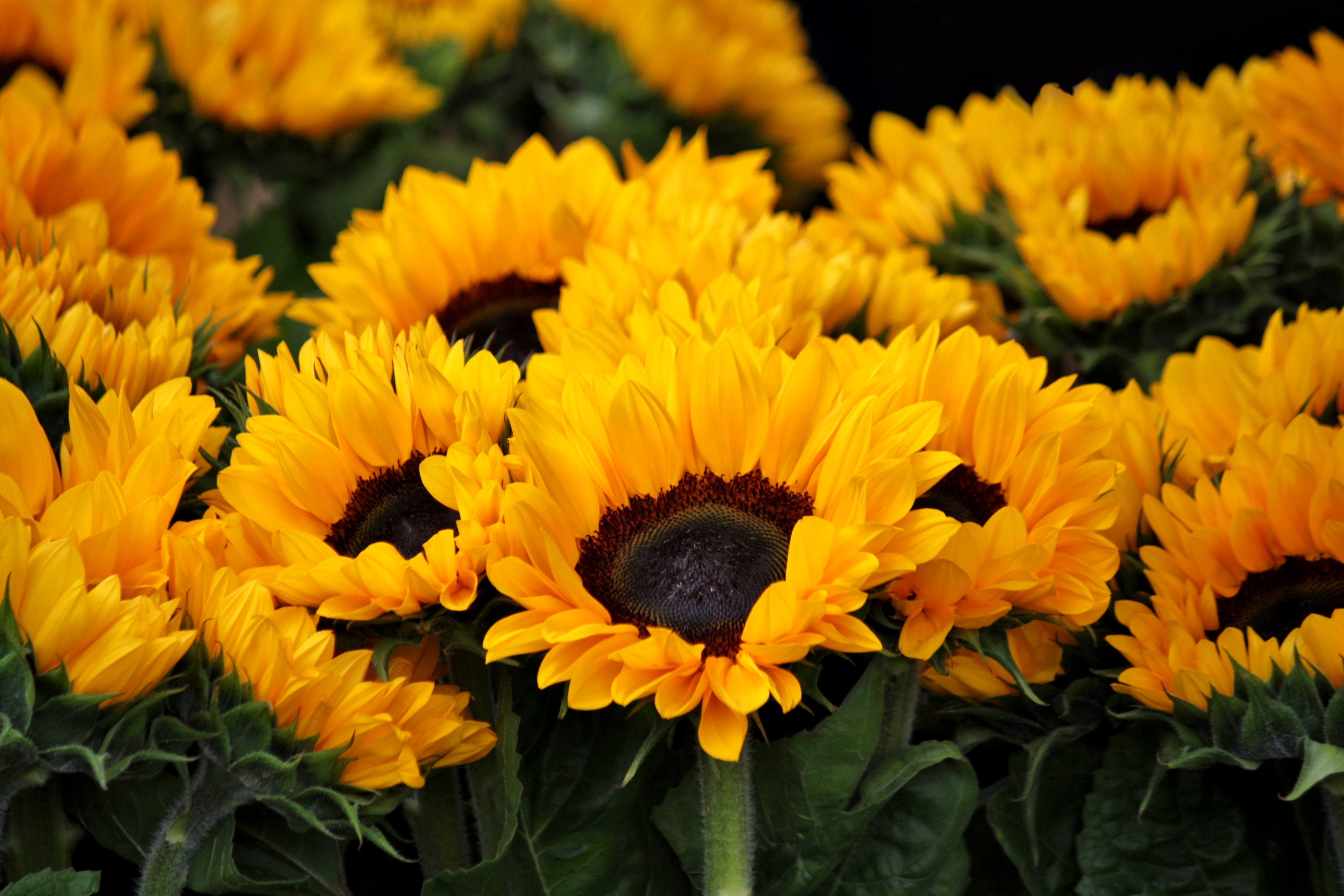 Sunflower Aesthetic Wallpapers - Top Free Sunflower ...