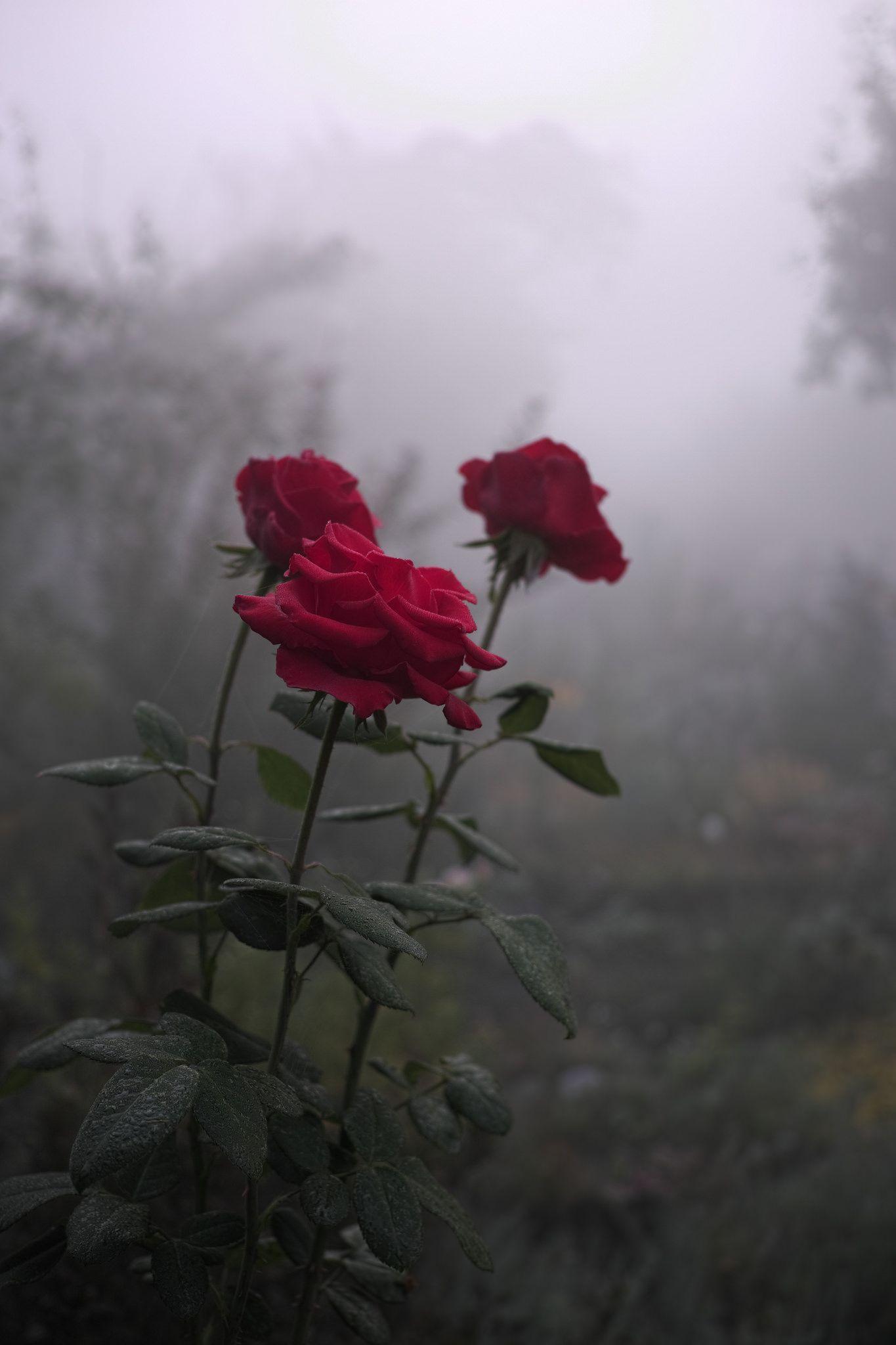 Download 640+ Wallpaper Tumblr Rose Gratis Terbaik