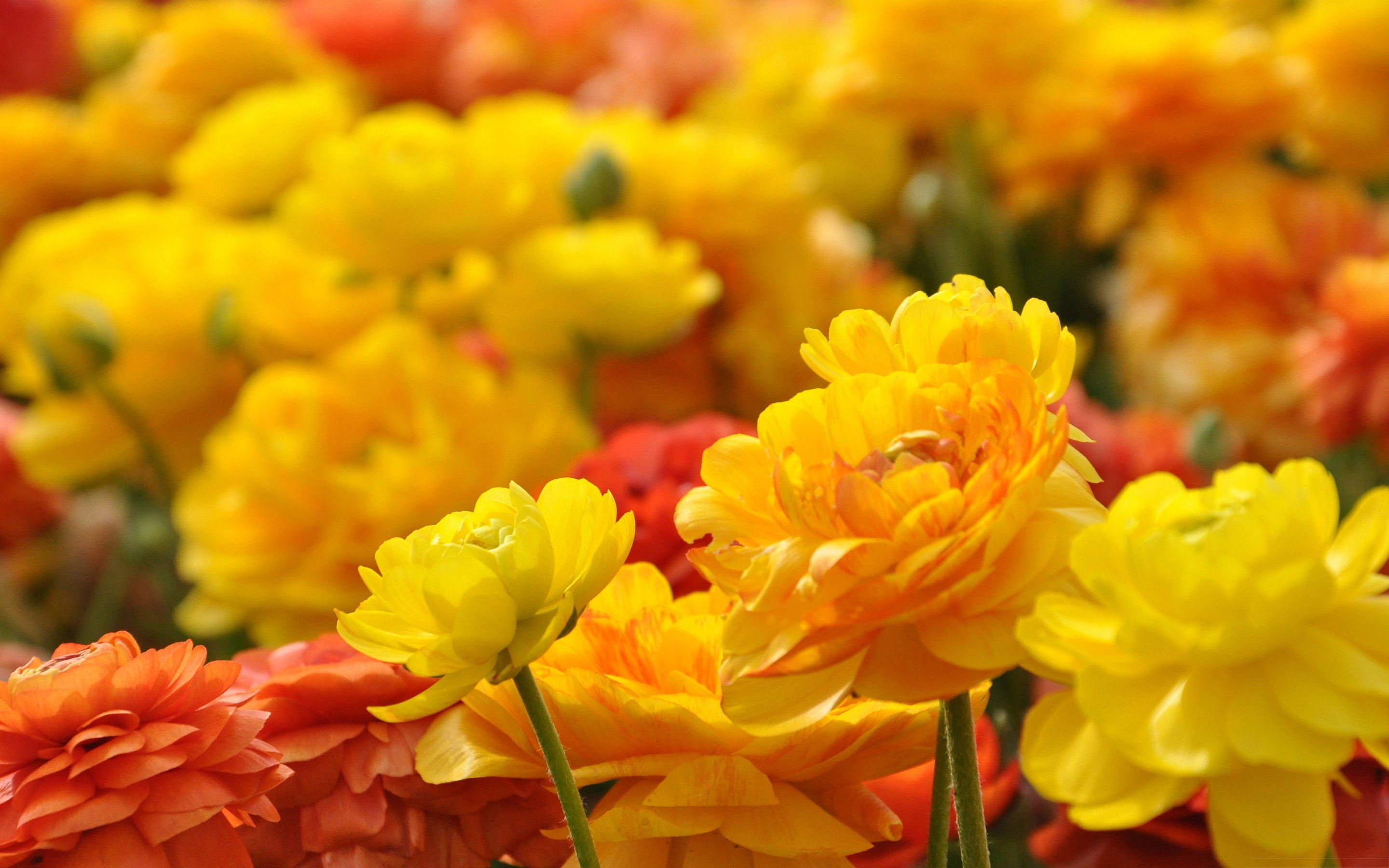 Red And Yellow Flowers Wallpapers Top Free Red And Yellow Flowers Backgrounds Wallpaperaccess