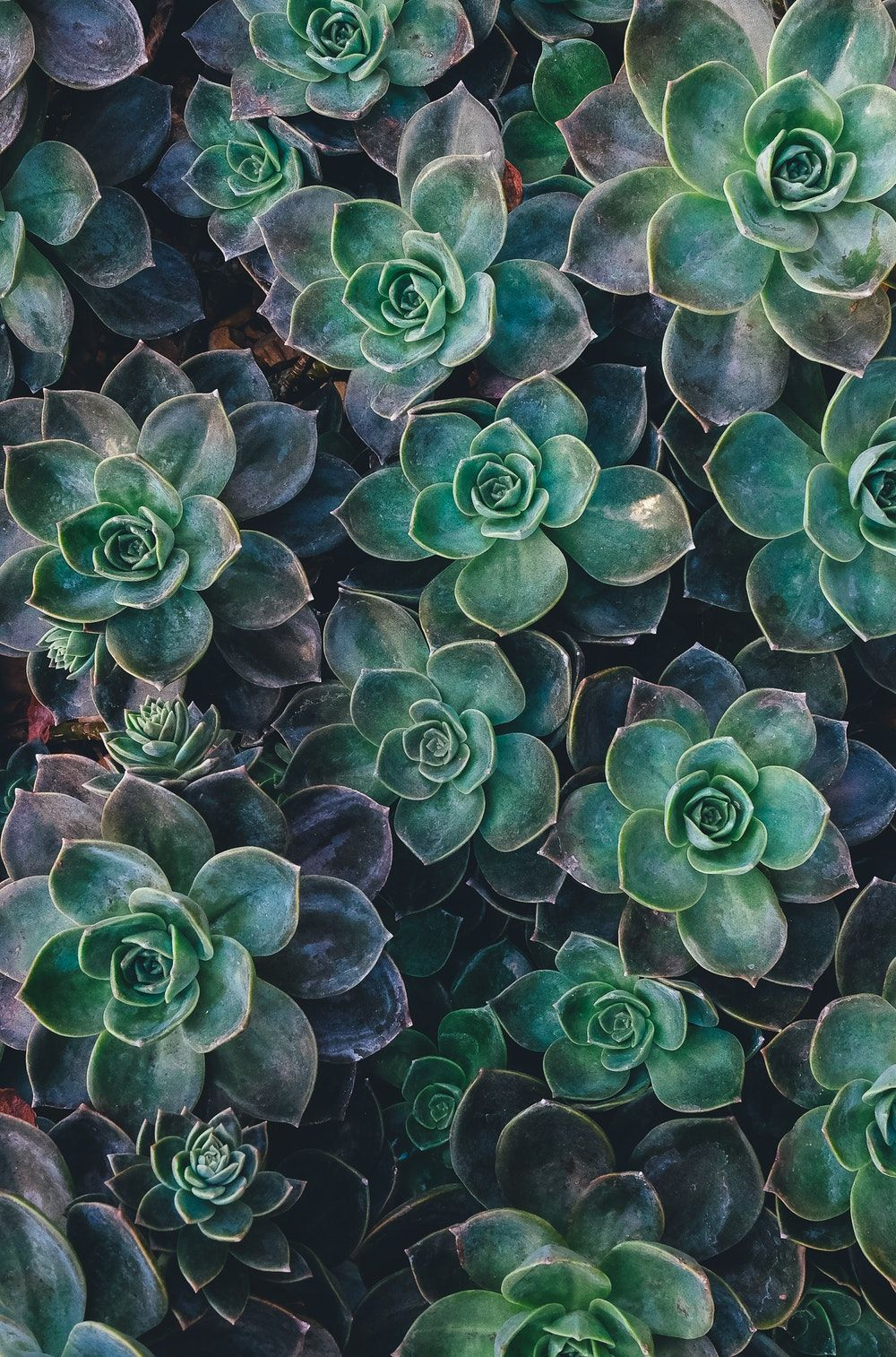 Succulent Phone Wallpapers Top Free Succulent Phone Backgrounds Wallpaperaccess