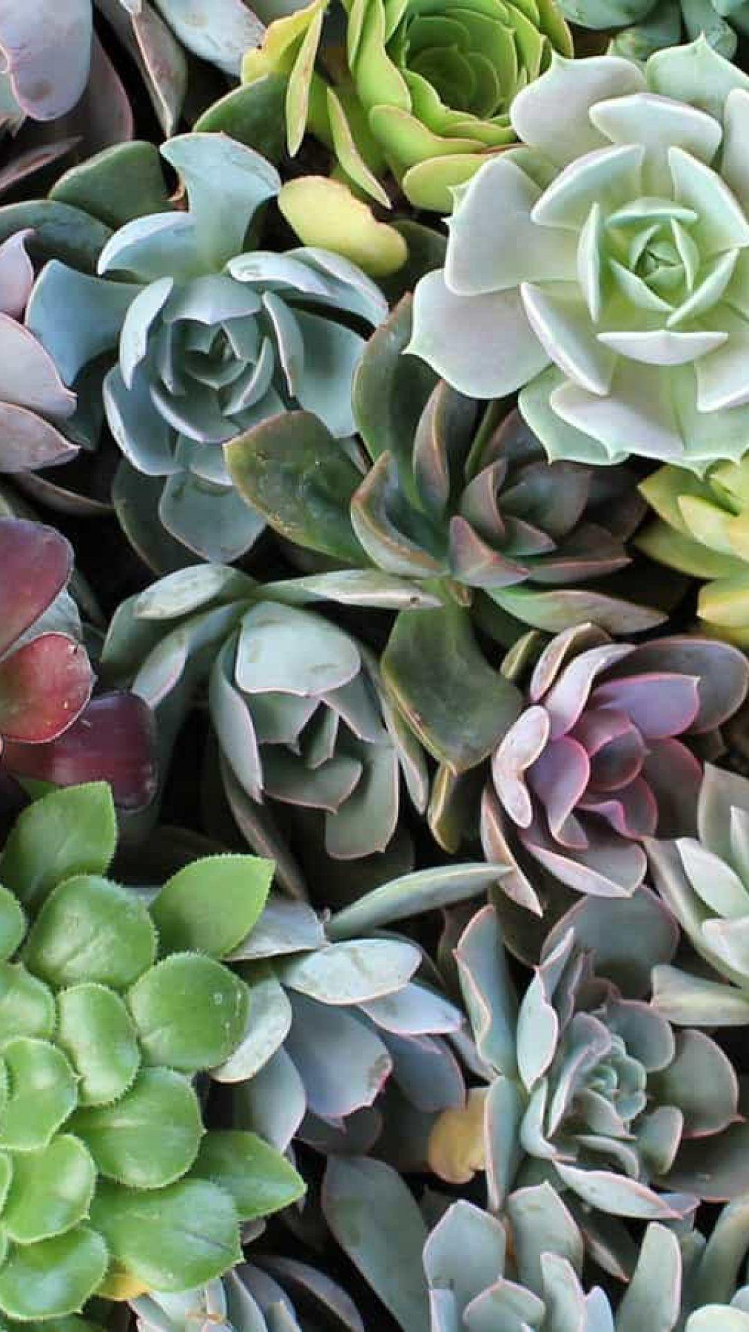Succulent Phone Wallpapers Top Free Succulent Phone