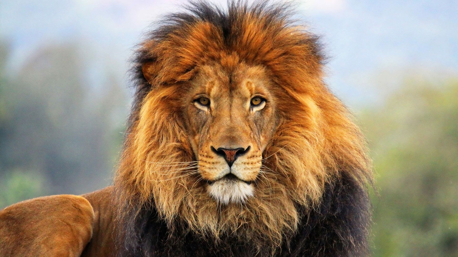Howling Lion 4k Wallpapers Top Free Howling Lion 4k