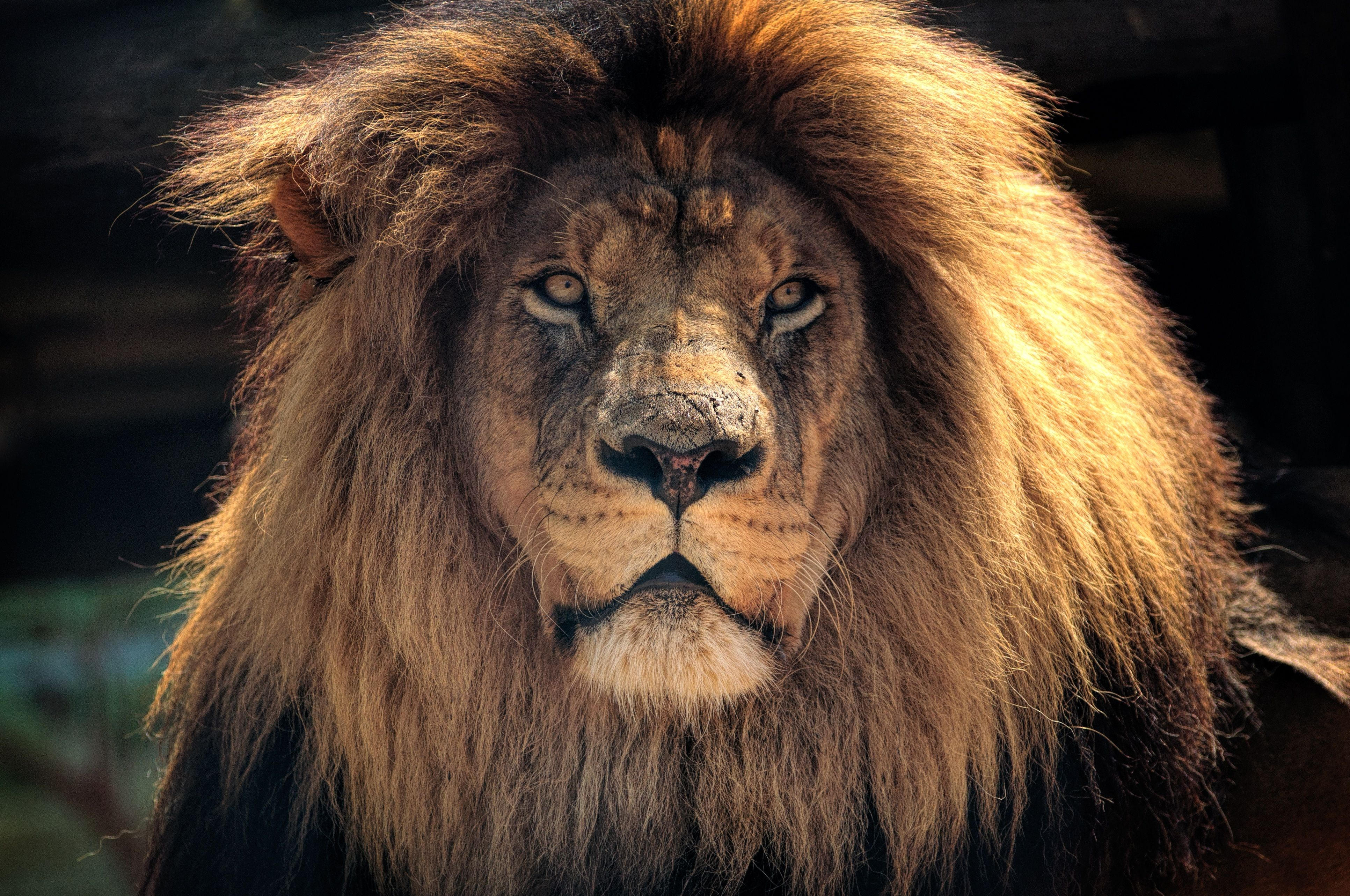 Howling Lion 4K Wallpapers - Top Free Howling Lion 4K ...