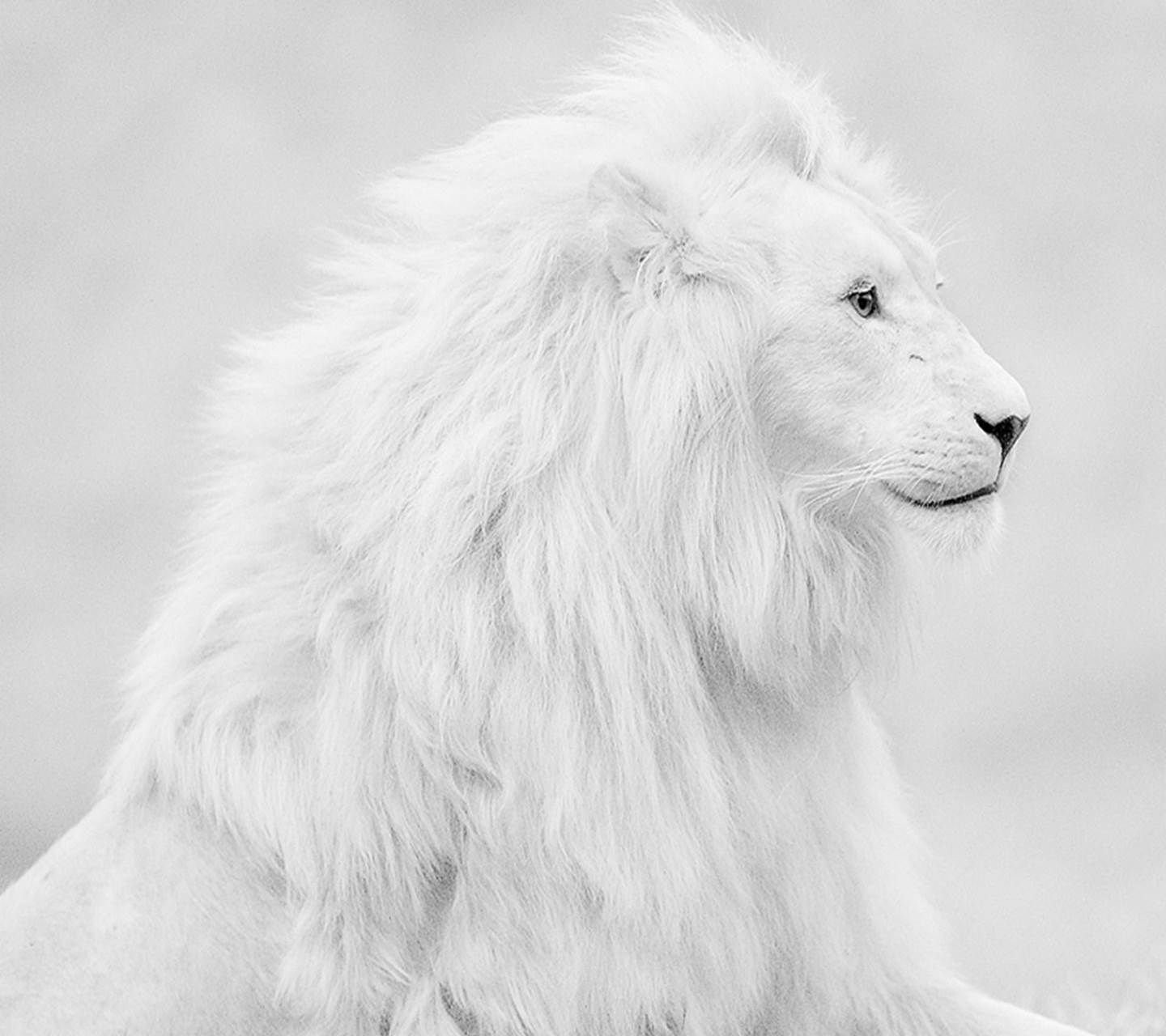 Blue Howling Lion 4k Wallpapers Top Free Blue Howling Lion 4k Backgrounds Wallpaperaccess