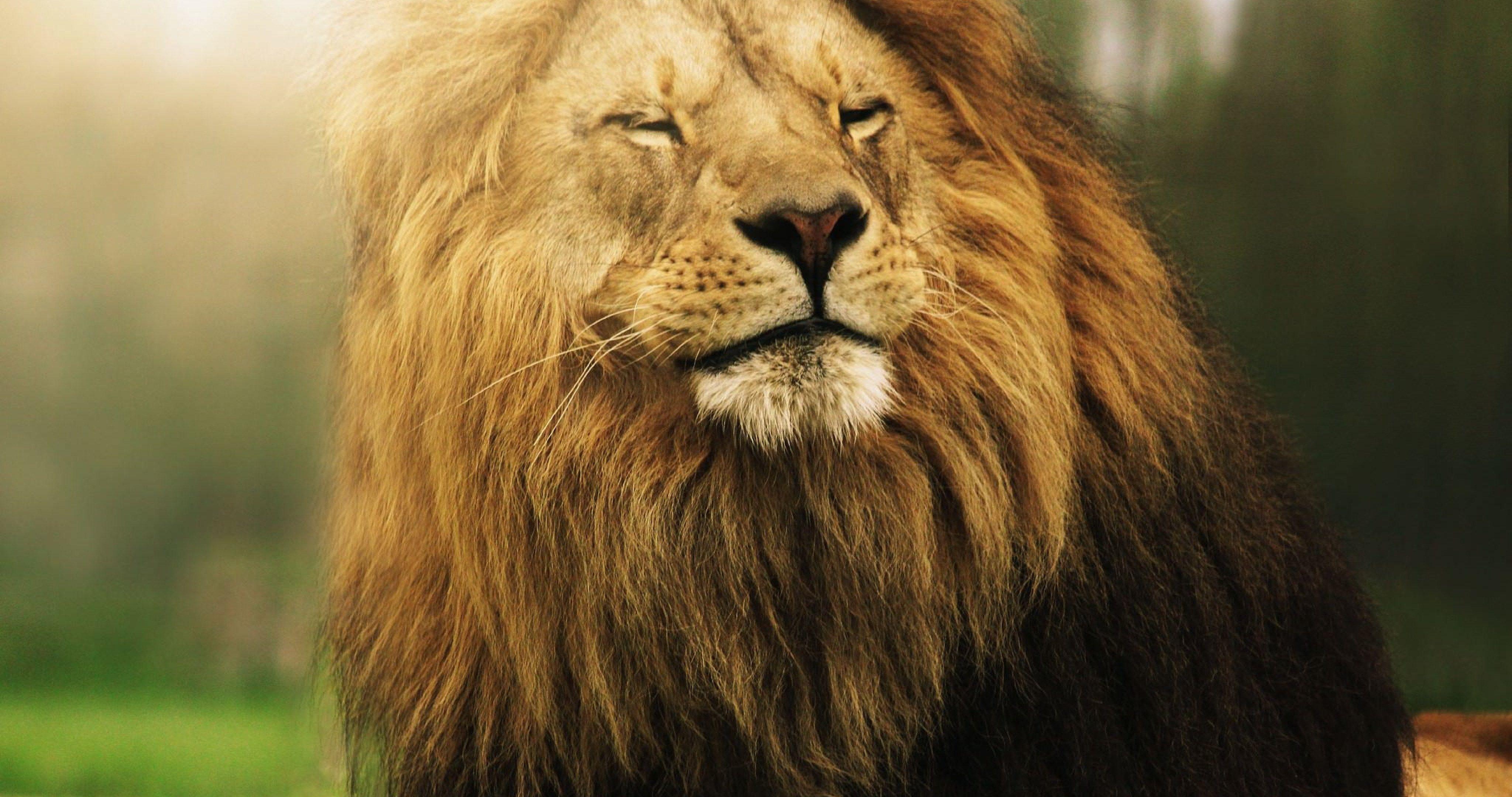 4k Ultra Hd Lions Wallpapers Top Free 4k Ultra Hd Lions Backgrounds Wallpaperaccess