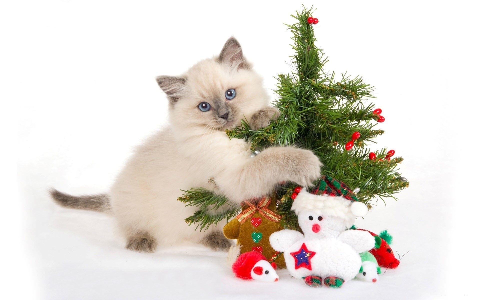 Cute Christmas Cat Wallpapers Top Free Cute Christmas Cat
