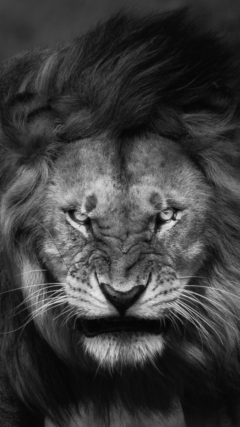 Lion Iphone Wallpapers Top Free Lion Iphone Backgrounds Wallpaperaccess