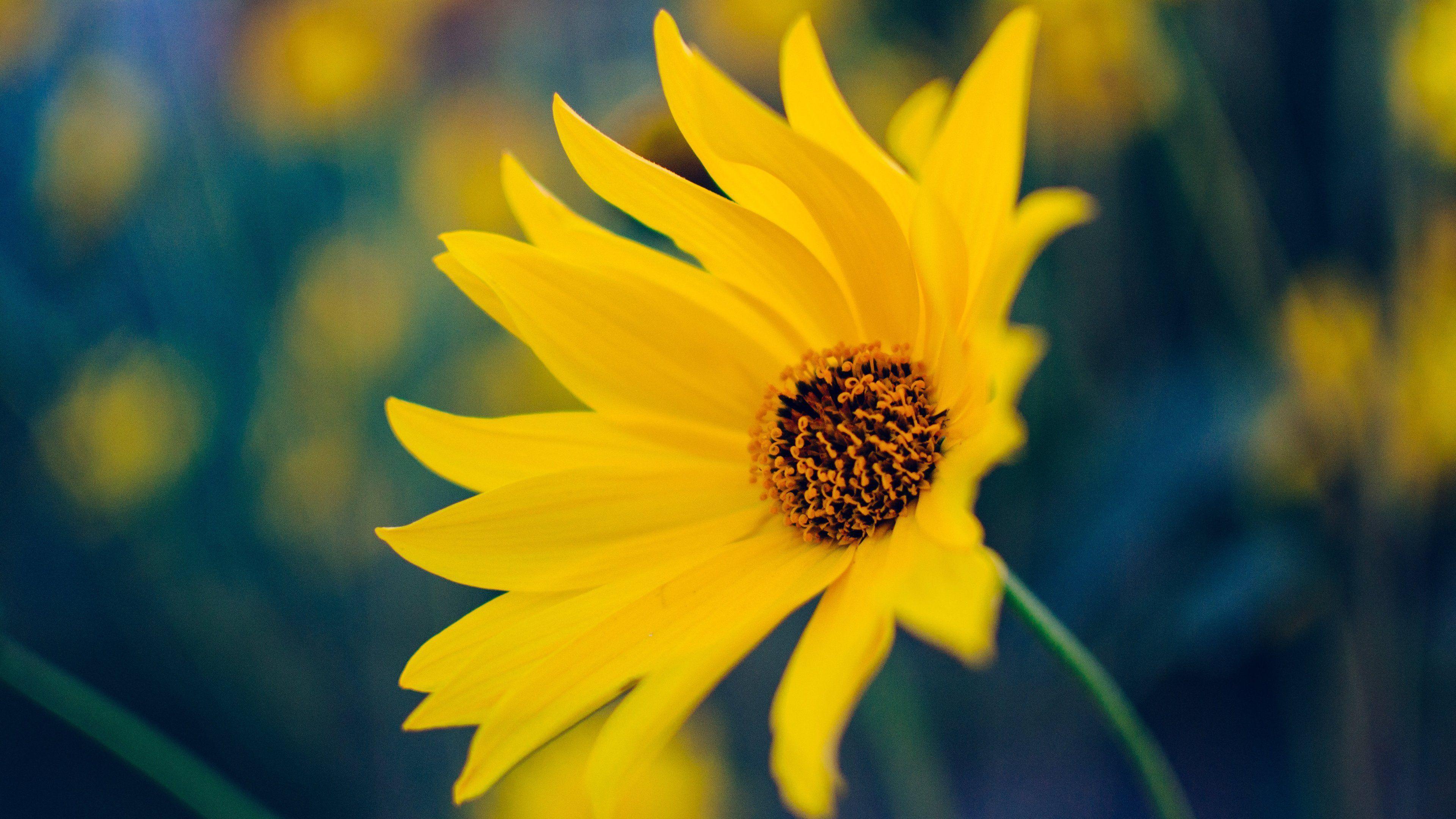 Yellow Flower Desktop Wallpapers Top Free Yellow Flower Desktop Backgrounds Wallpaperaccess