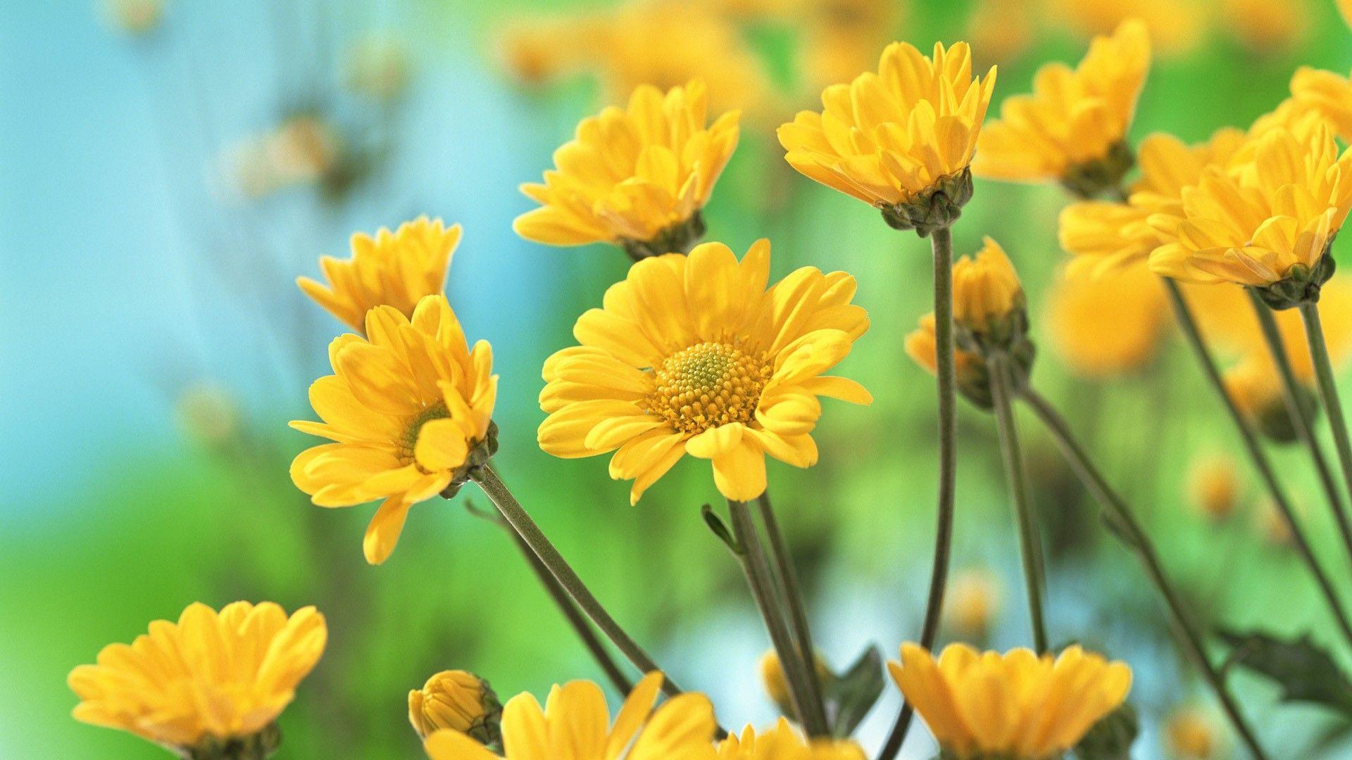 Yellow Flower Desktop Wallpapers Top Free Yellow Flower Desktop