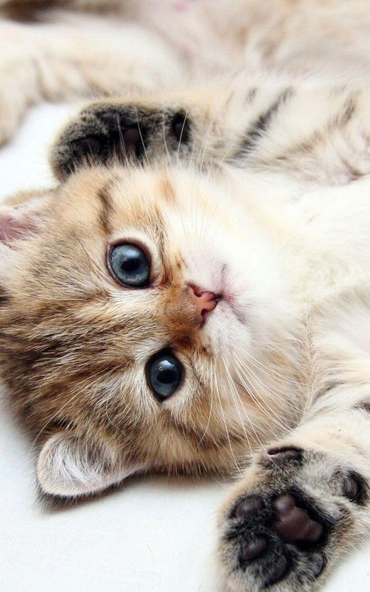 Cat Iphone 6 Plus Wallpapers Top Free Cat Iphone 6 Plus