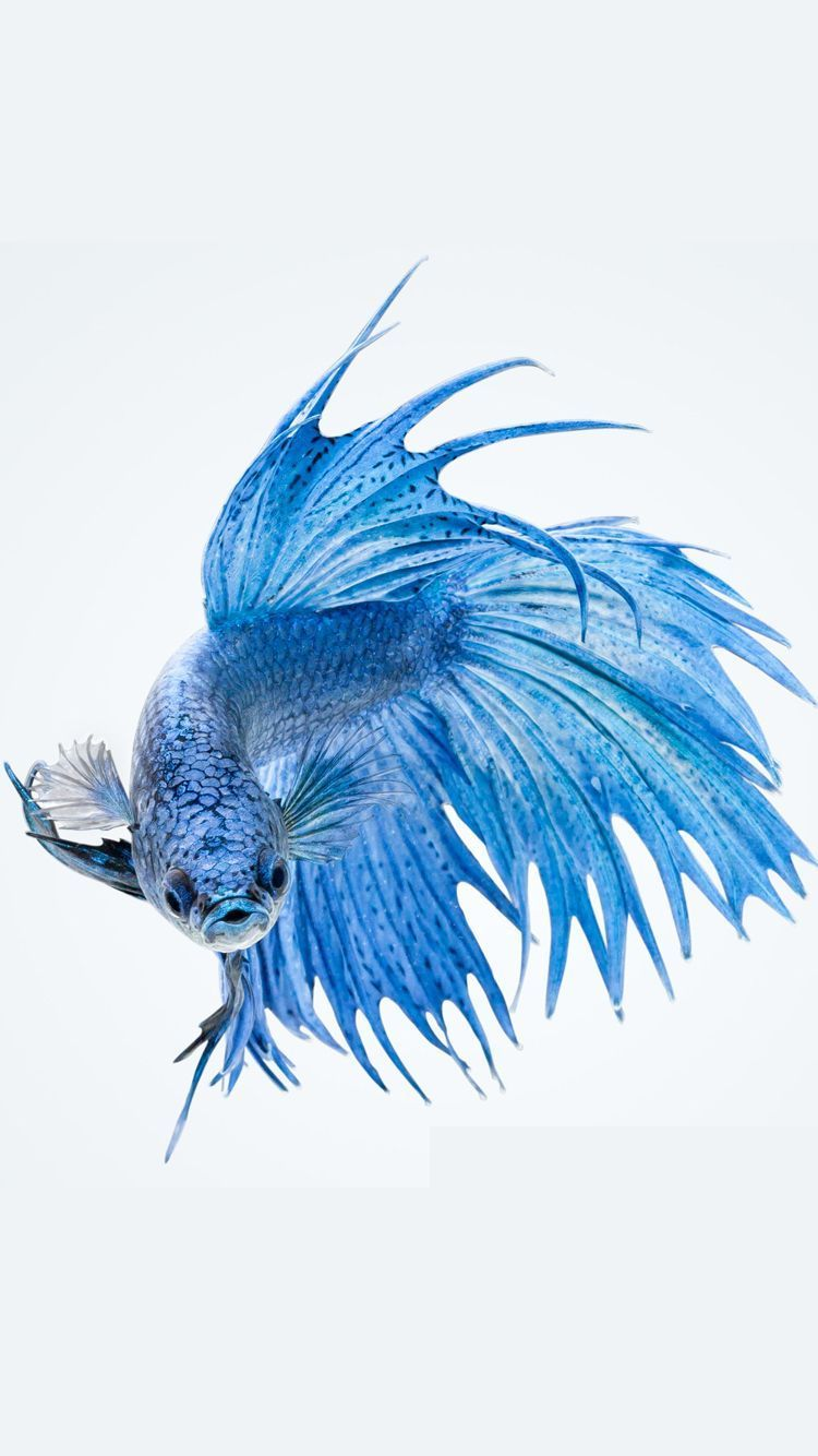 ffaa42968cb 750x1334 Apple iPhone 6s Wallpaper with Blue Betta Fish in White Background  .