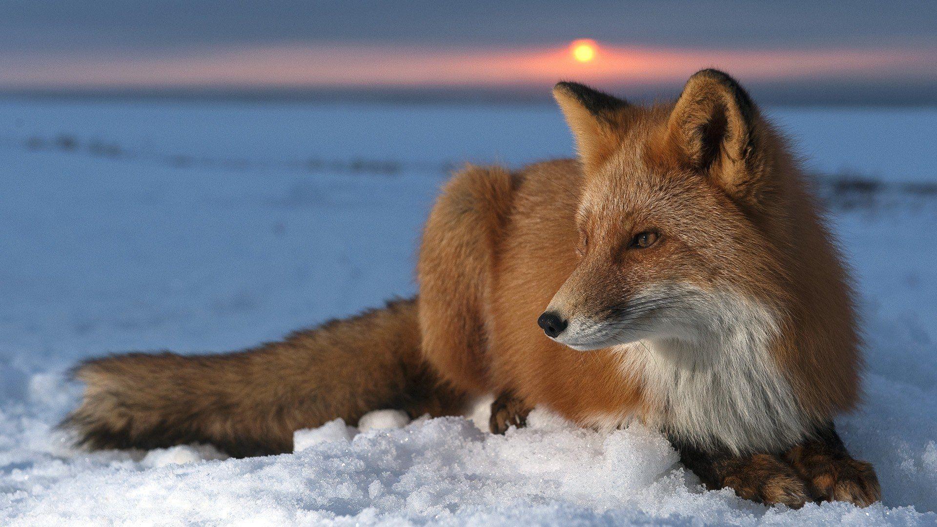 Fox Wallpapers Top Free Fox Backgrounds Wallpaperaccess