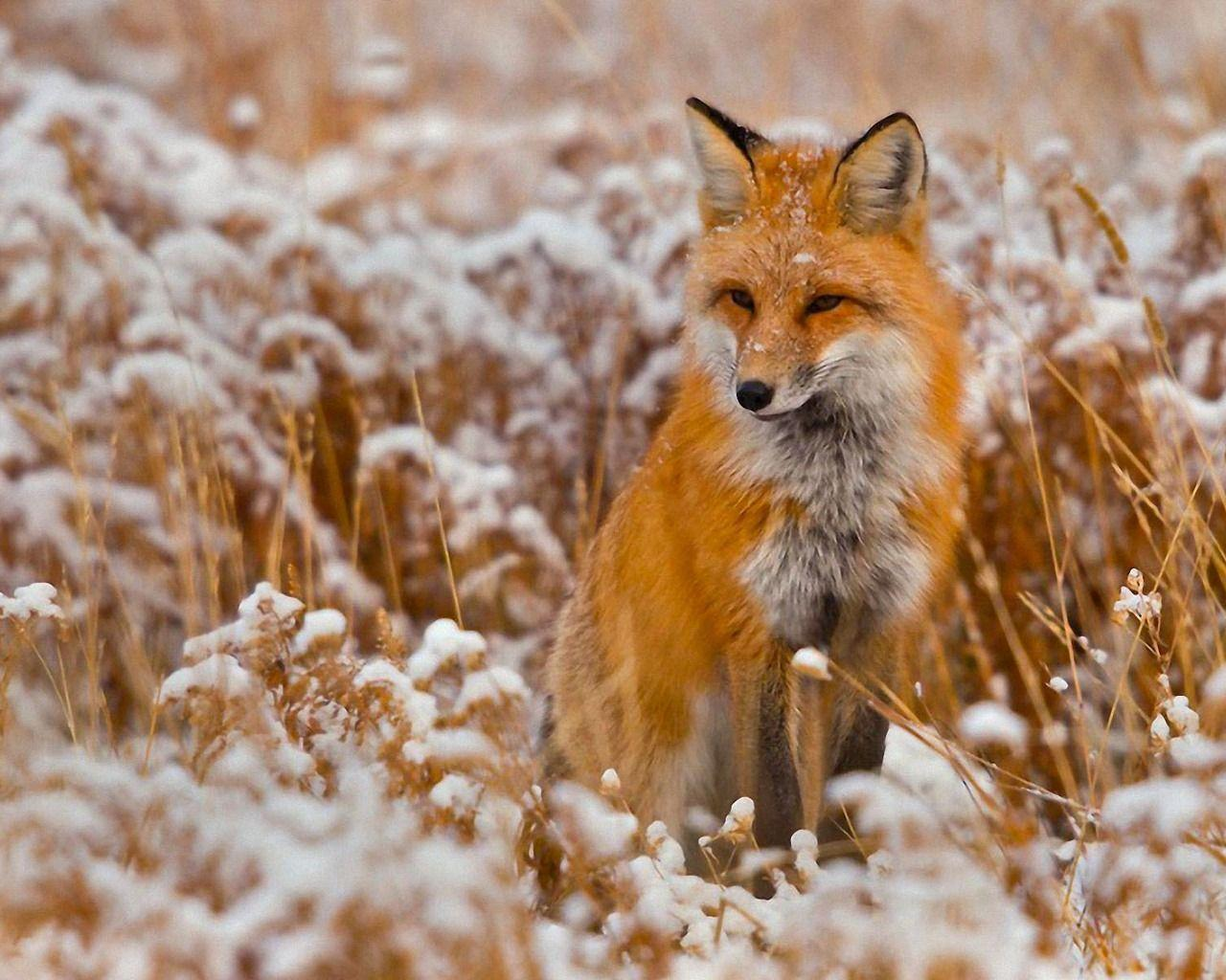 Red Fox Wallpapers Top Free Red Fox Backgrounds Wallpaperaccess