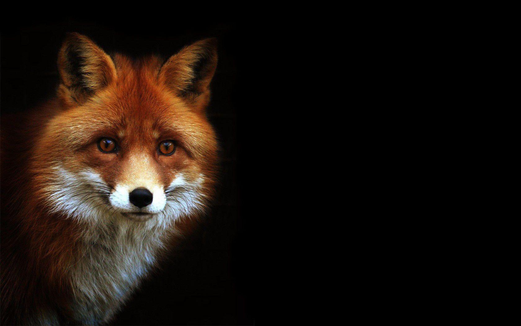 Black Fox Wallpapers Top Free Black Fox Backgrounds