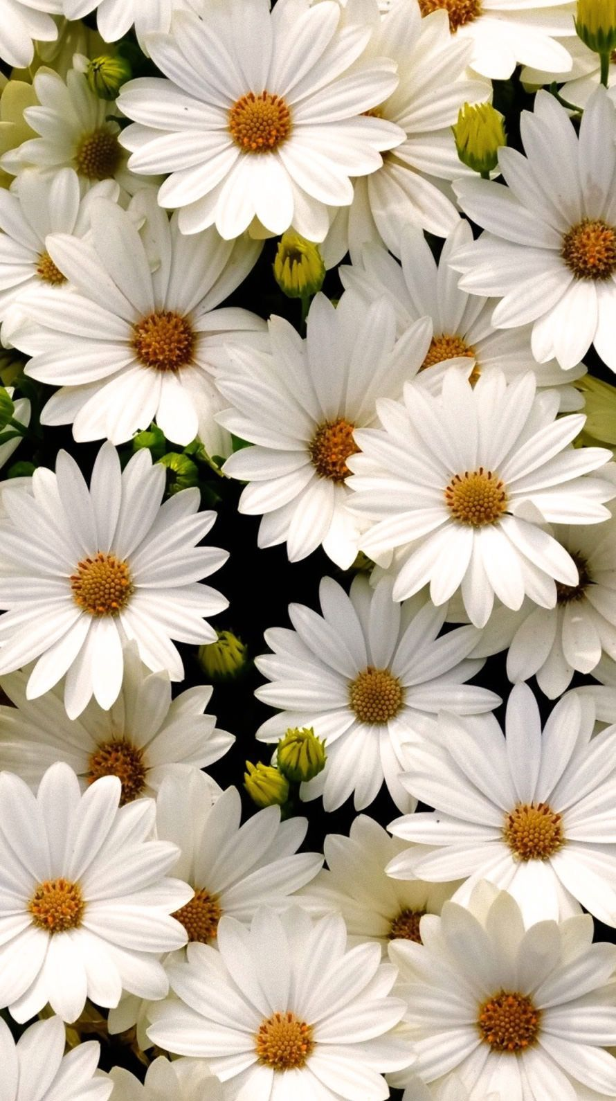 Daisy Aesthetic Wallpapers Top Free Daisy Aesthetic Backgrounds