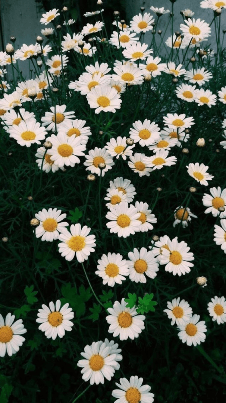 Daisy Aesthetic Wallpapers - Top Free Daisy Aesthetic ...