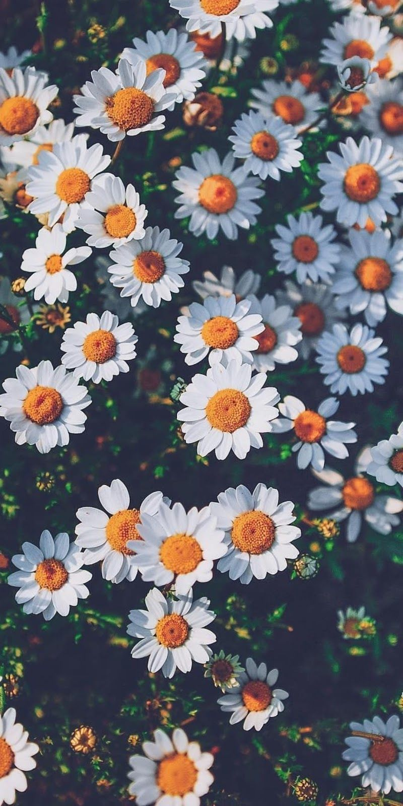 Daisy Aesthetic Wallpapers Top Free Daisy Aesthetic Backgrounds Wallpaperaccess