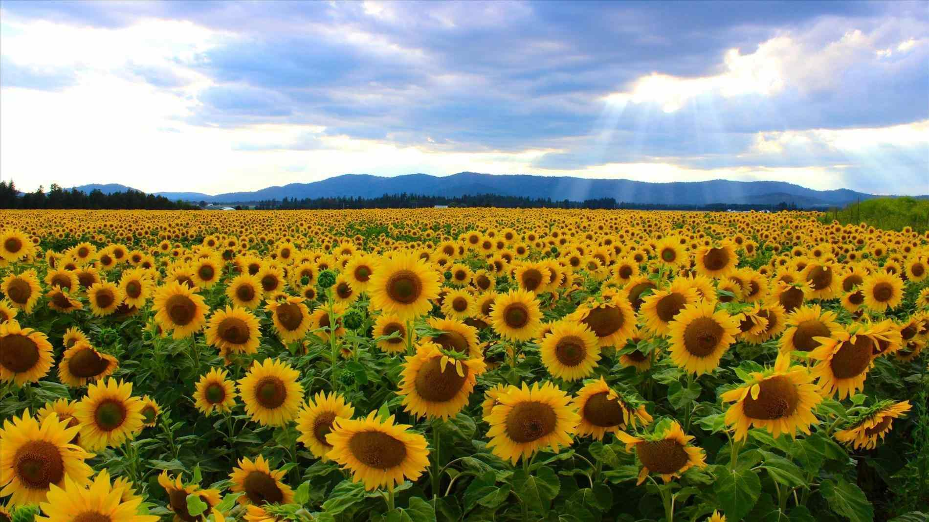 Field Of Sunflowers Wallpaper: Yellow Aesthetic Wallpapers