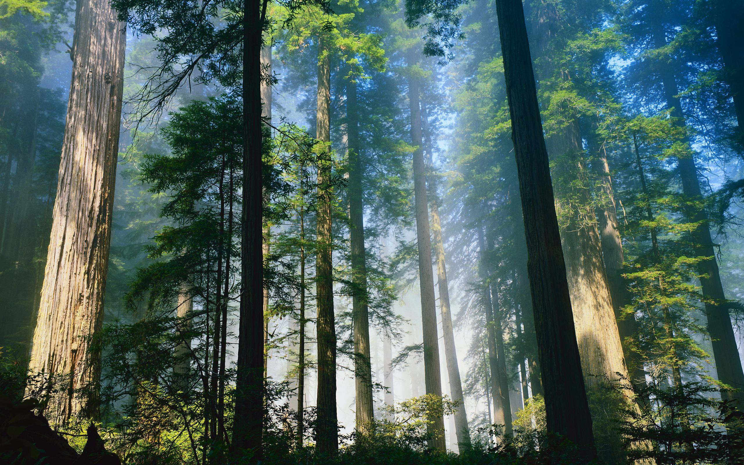 Redwood Forest Wallpapers Top Free Redwood Forest Backgrounds Wallpaperaccess