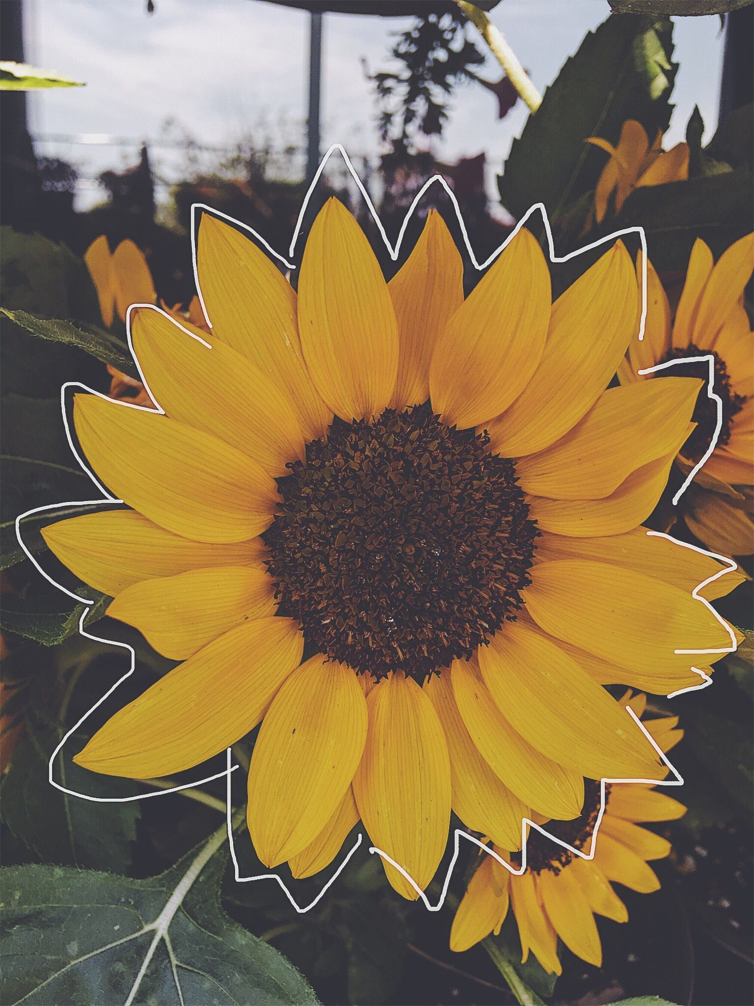 Sunflower Aesthetic Wallpapers Top Free Sunflower Aesthetic Backgrounds Wallpaperaccess