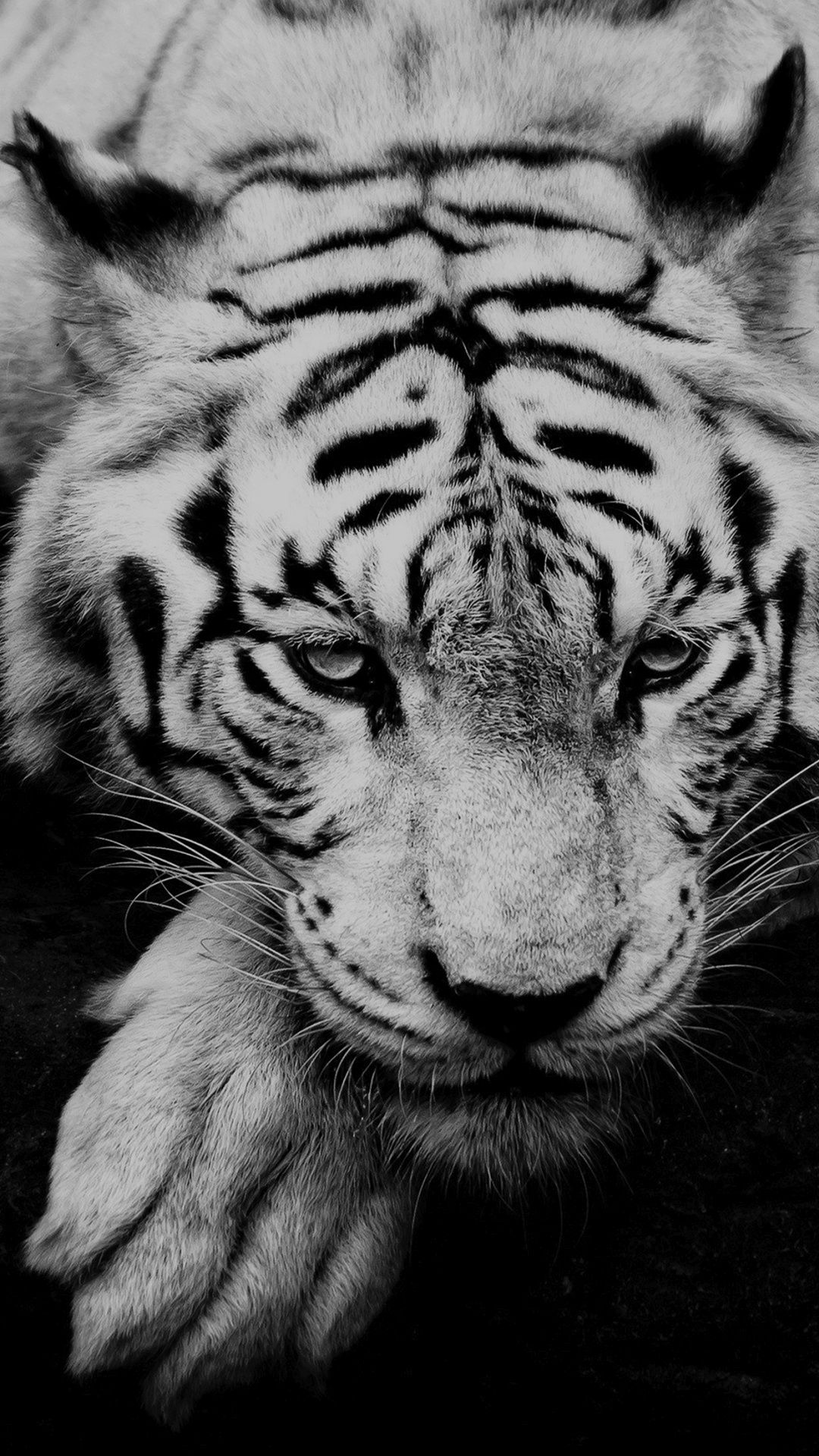 Tiger Iphone Wallpapers Top Free Tiger Iphone Backgrounds