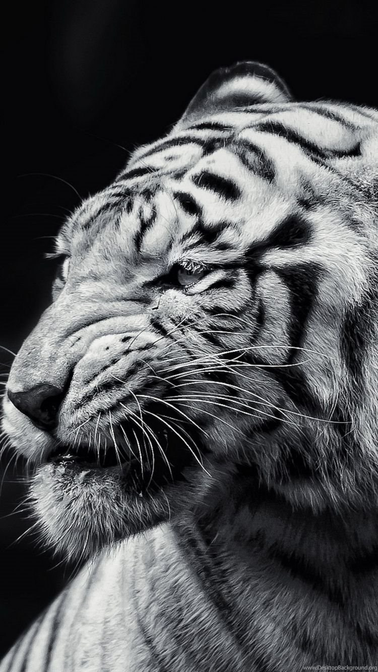 Tiger Iphone Wallpapers Top Free Tiger Iphone Backgrounds Wallpaperaccess
