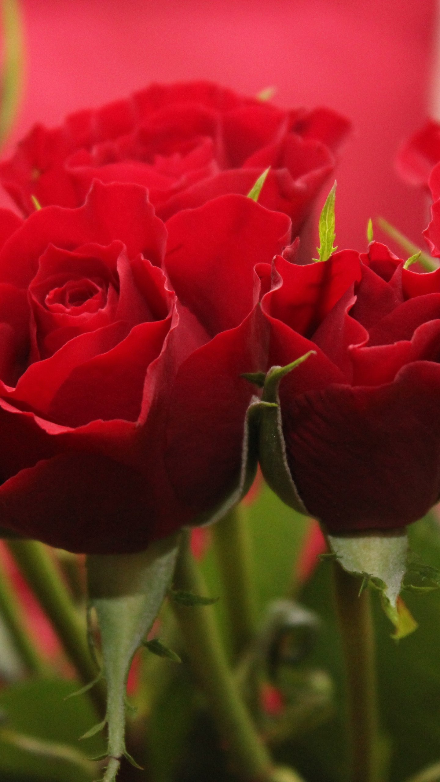 Red Roses Wallpapers Top Free Red Roses Backgrounds Wallpaperaccess