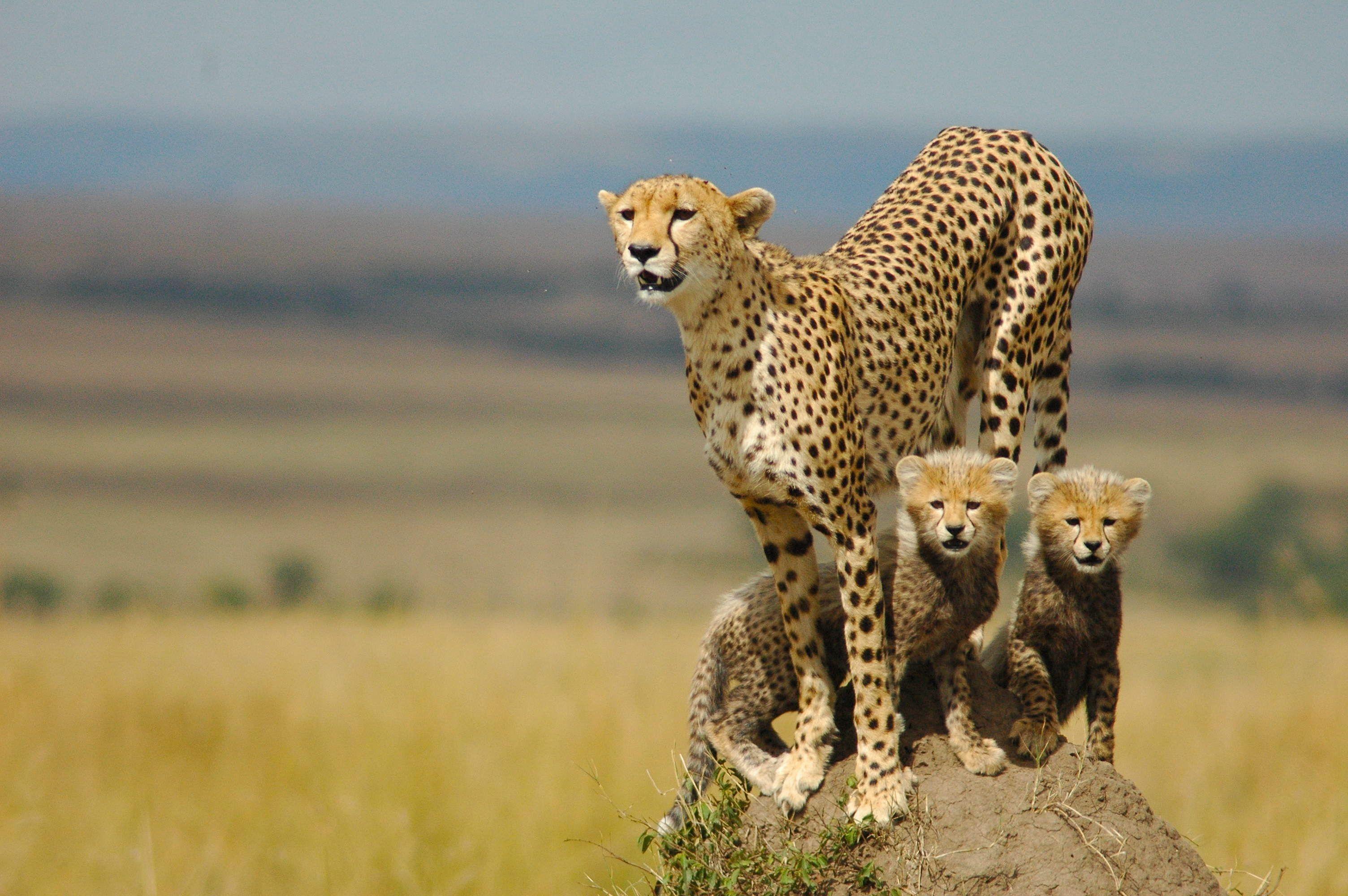 1080p Cheetah Wallpaper Hd