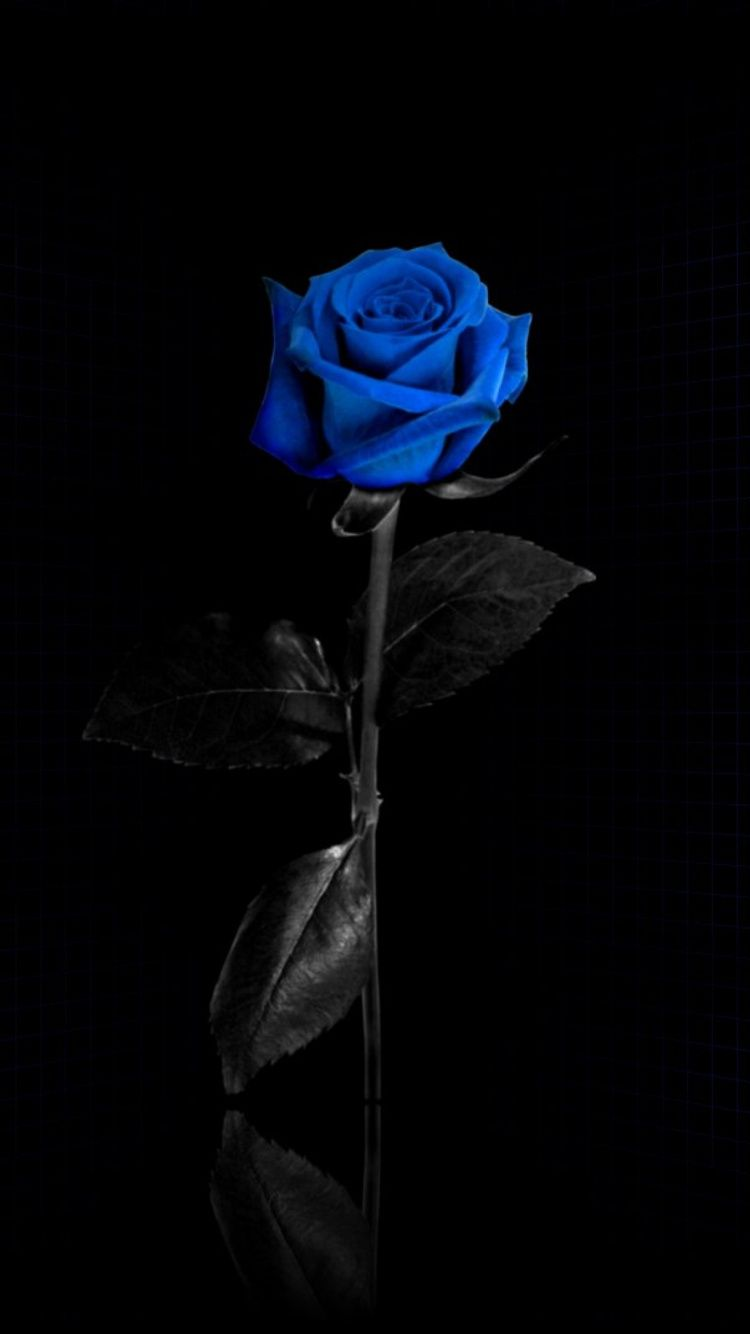 52 Best Free Rose Iphone Wallpapers Wallpaperaccess