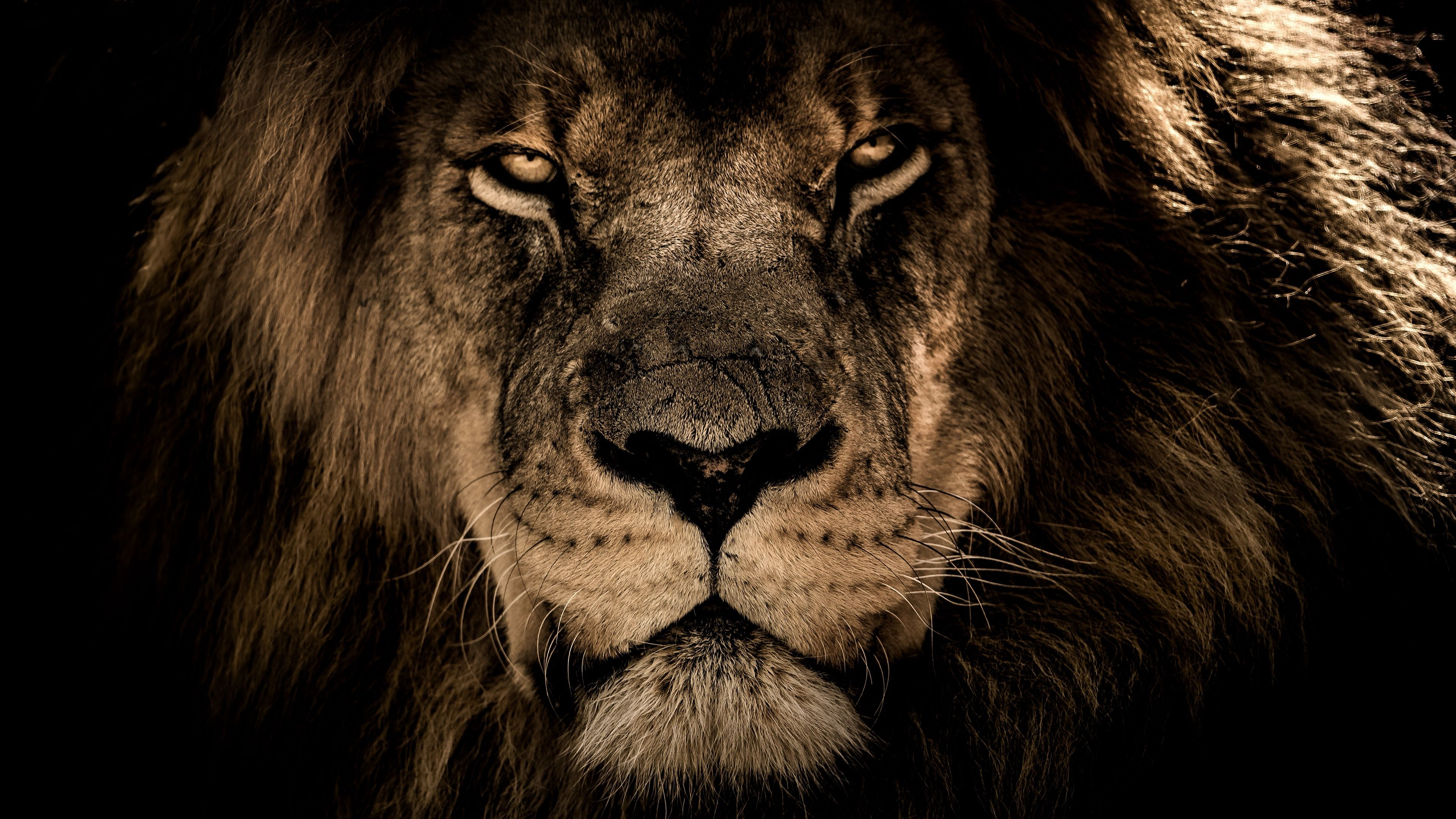 Lion Eyes Wallpapers Top Free Lion Eyes Backgrounds Wallpaperaccess