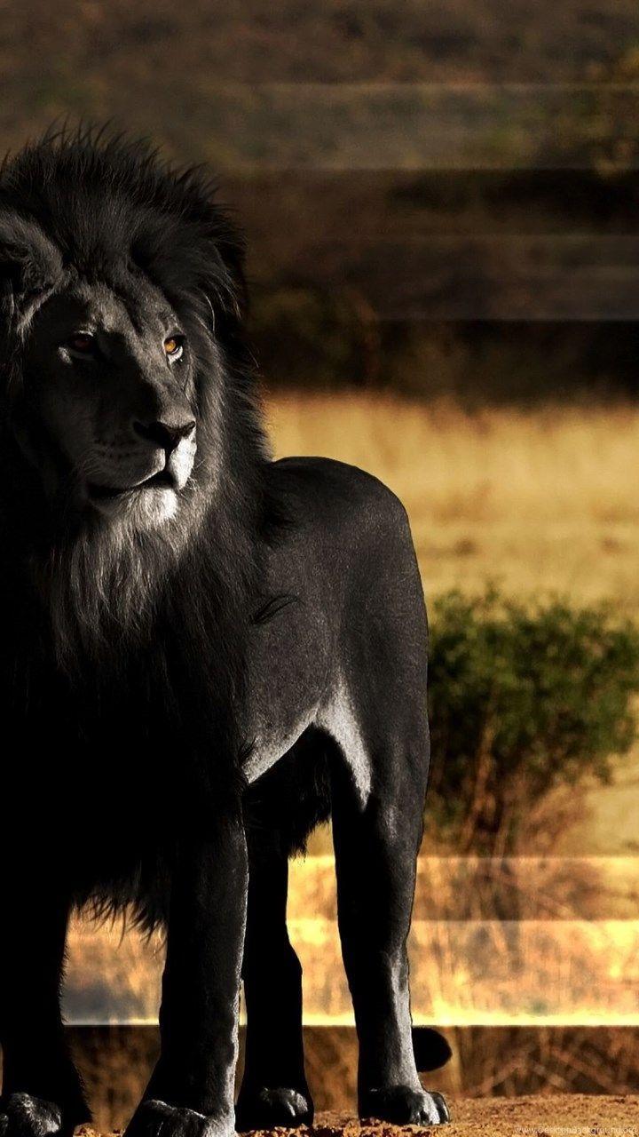 4K Ultra HD Lions Wallpapers - Top Free 4K Ultra HD Lions ...