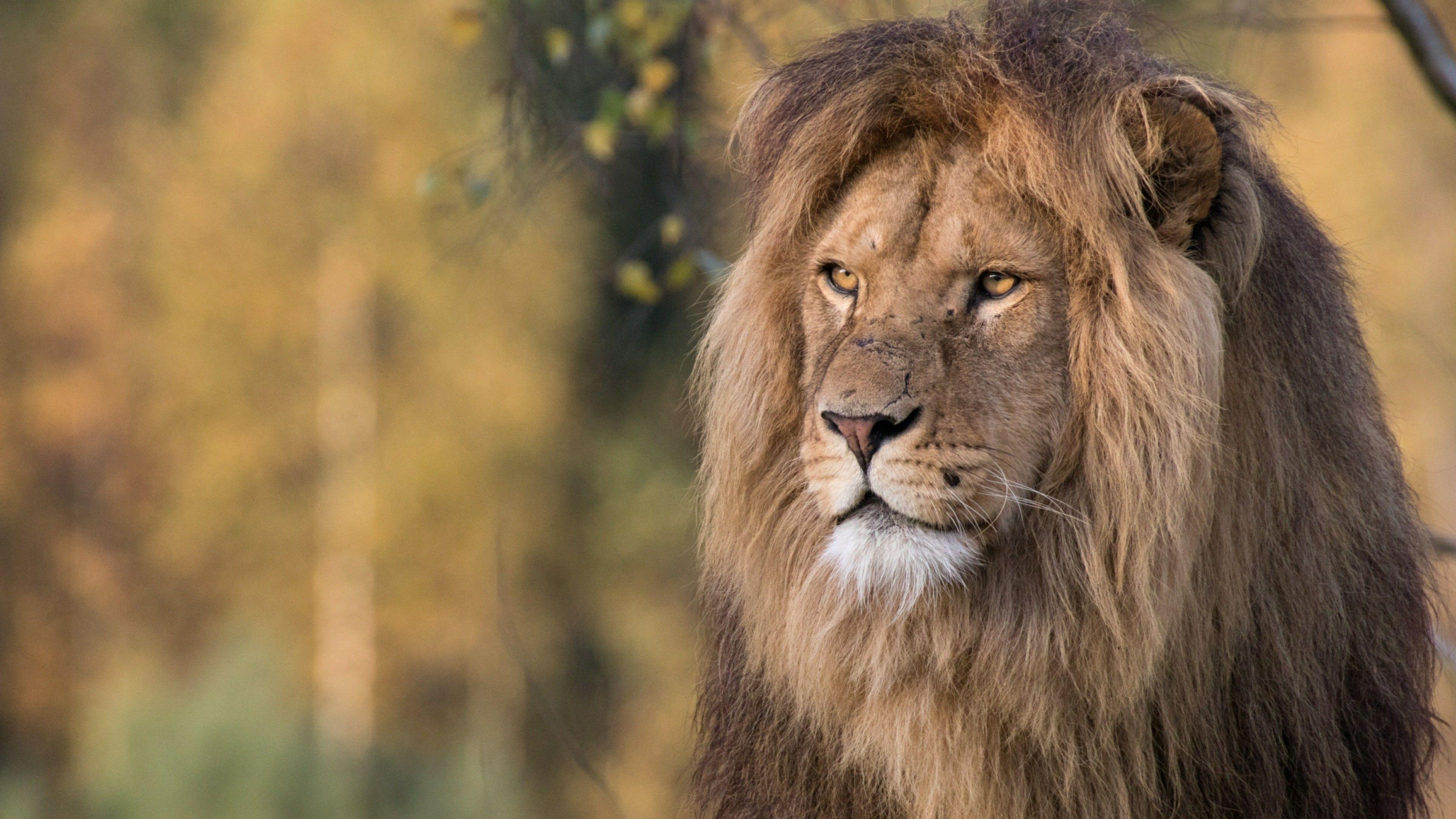 4k Ultra Hd Lions Wallpapers Top Free 4k Ultra Hd Lions