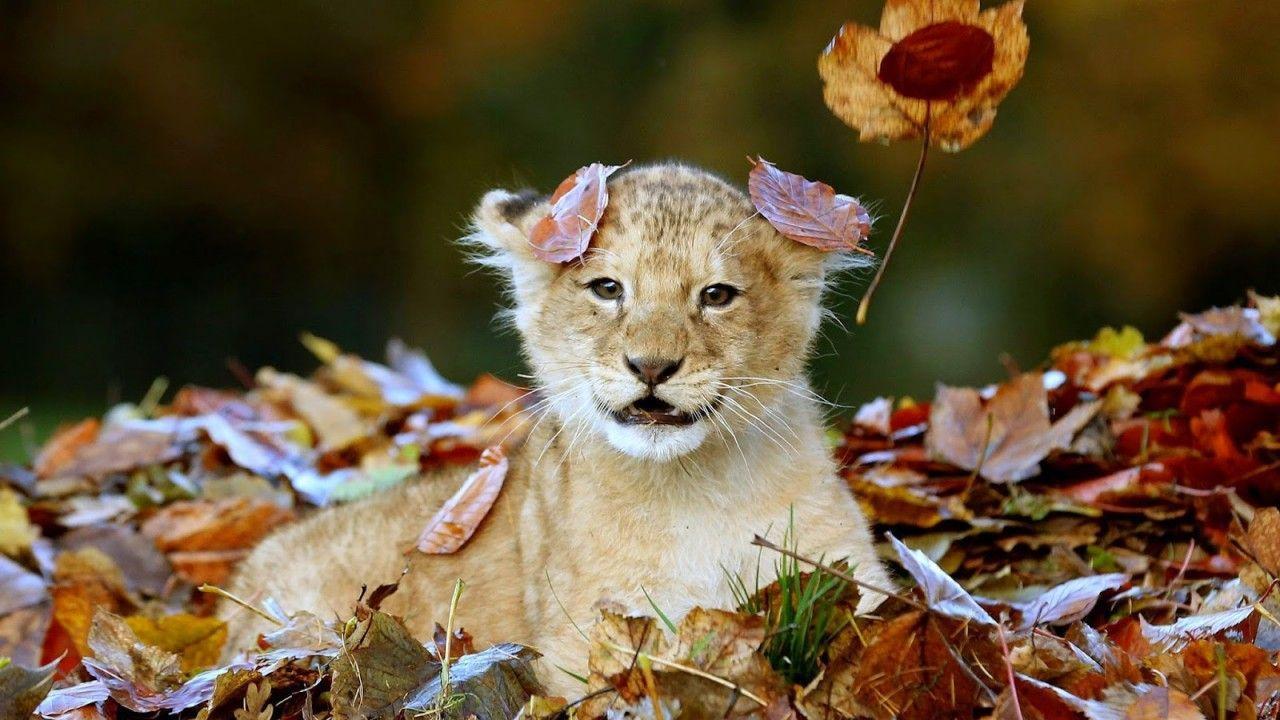 4k ultra hd lions wallpapers top free 4k ultra hd lions - Ultra hd animal wallpapers ...