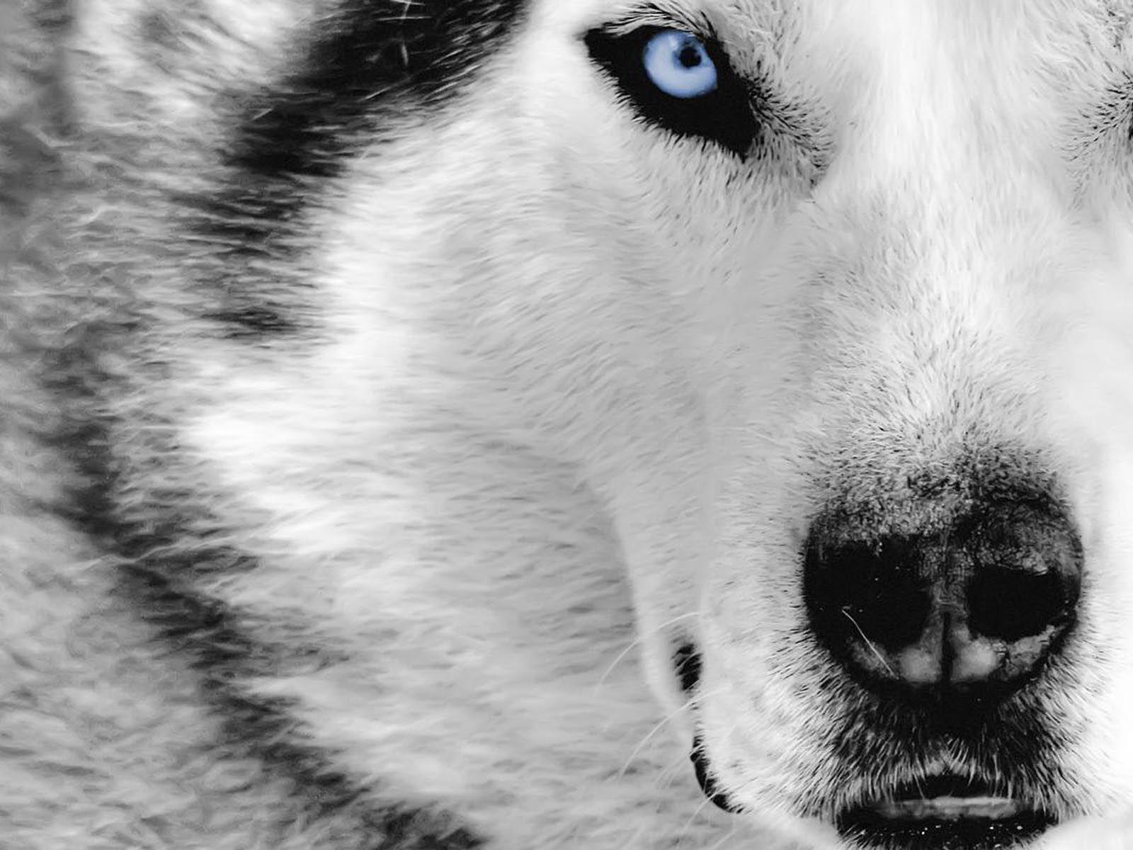 Hình nền chó Husky 1600x1200 HD 80615 cho Tường và Đường viền.  cười lớn