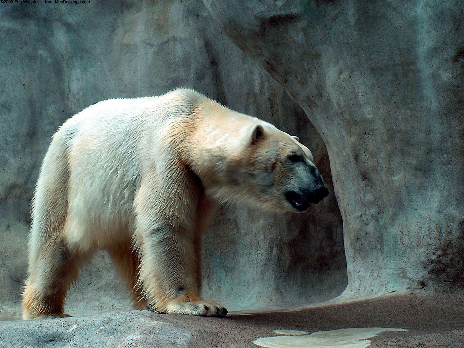 Bear Desktop Wallpapers Top Free Bear Desktop Backgrounds