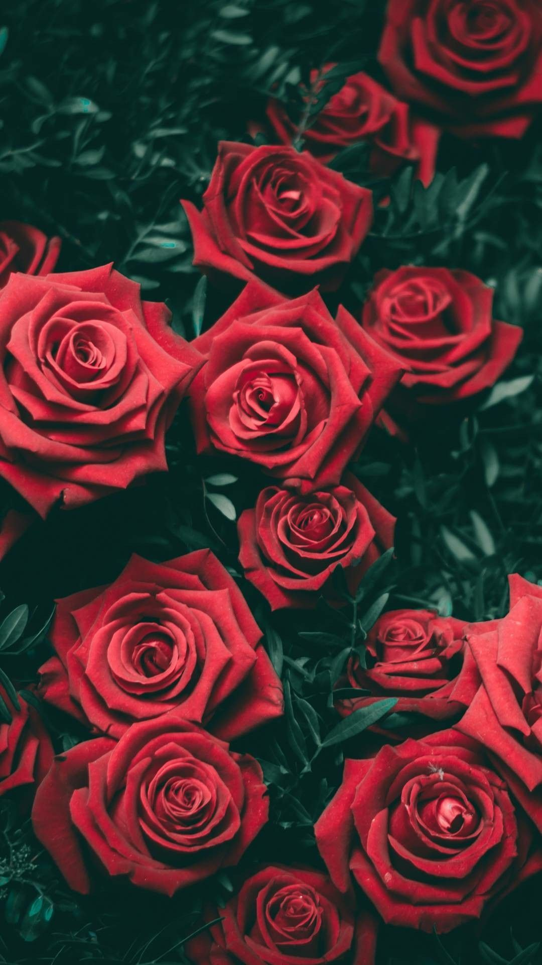 Red Roses Wallpapers Top Free Red Roses Backgrounds