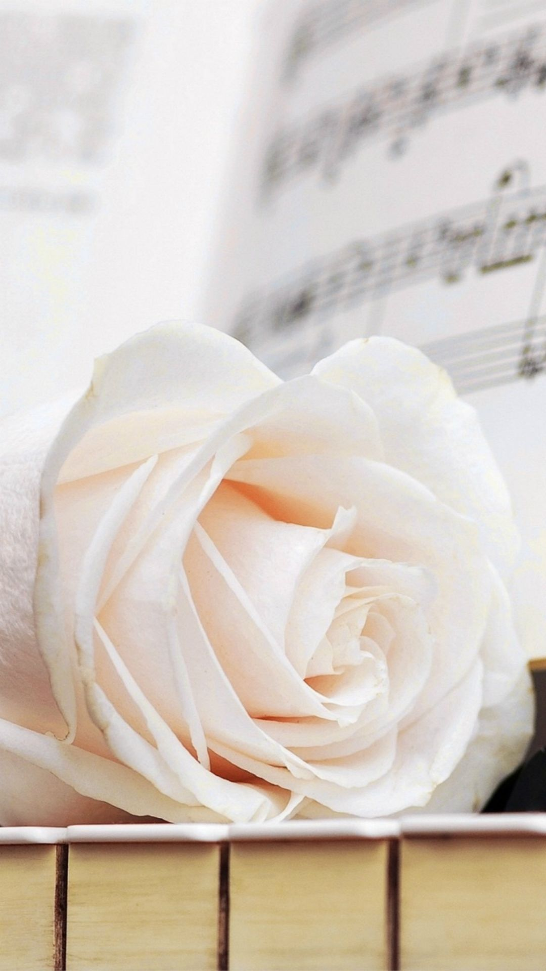 White Rose Iphone Wallpapers Top Free White Rose Iphone Backgrounds Wallpaperaccess
