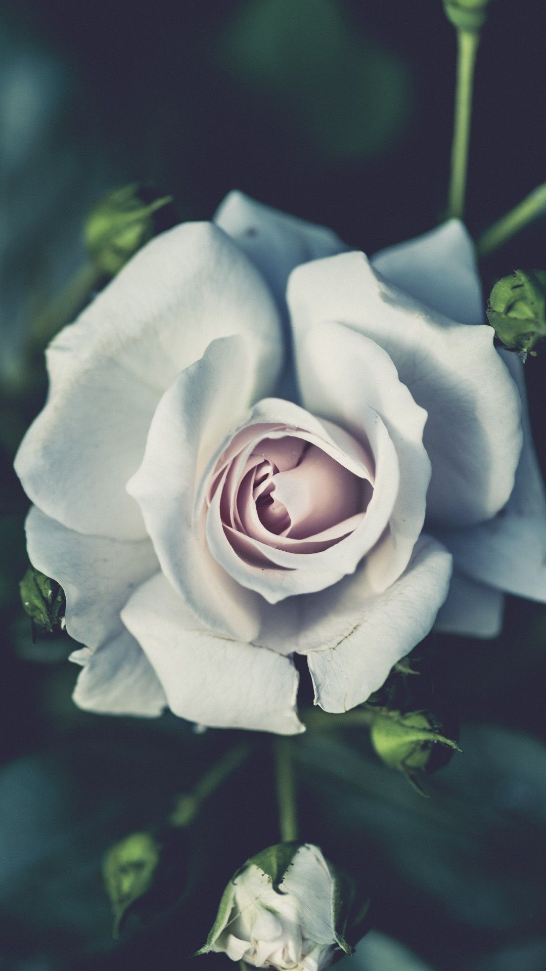 white rose iphone wallpapers top free